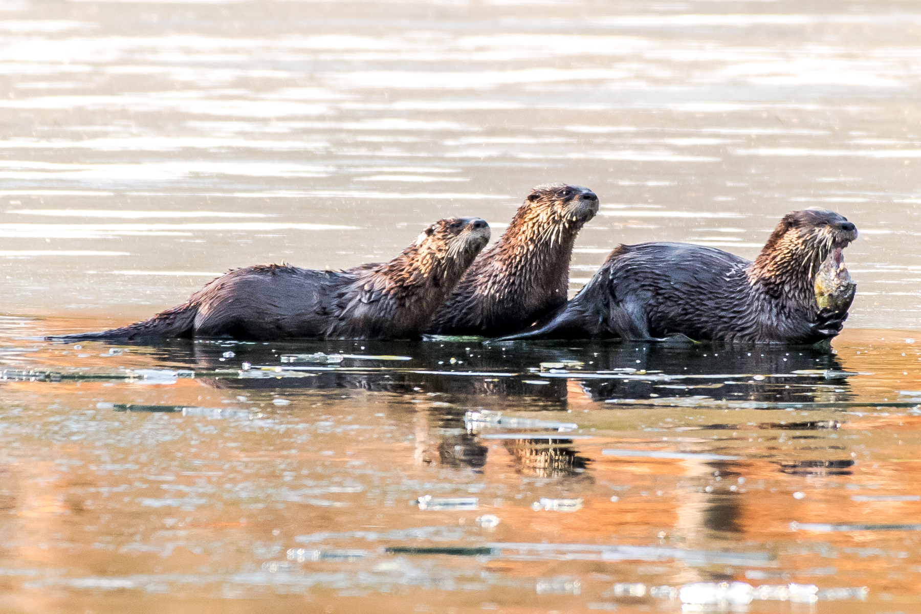 I couldn't resist seeing if the otters were back this morning and they were arriving just as I was !! . I had a one hour and thirty minute show this morning !