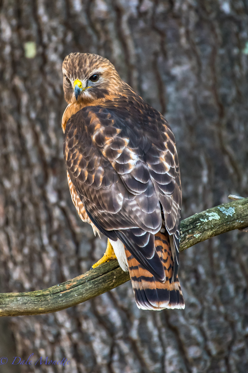 This beautiful hawk is a hybrid between a red tail hawk and a red shouldered hawk and is a male. It has mated with a female red tailed hawk for the last 3 or 4 years on the same territory in central Massachusetts.  3/8/16