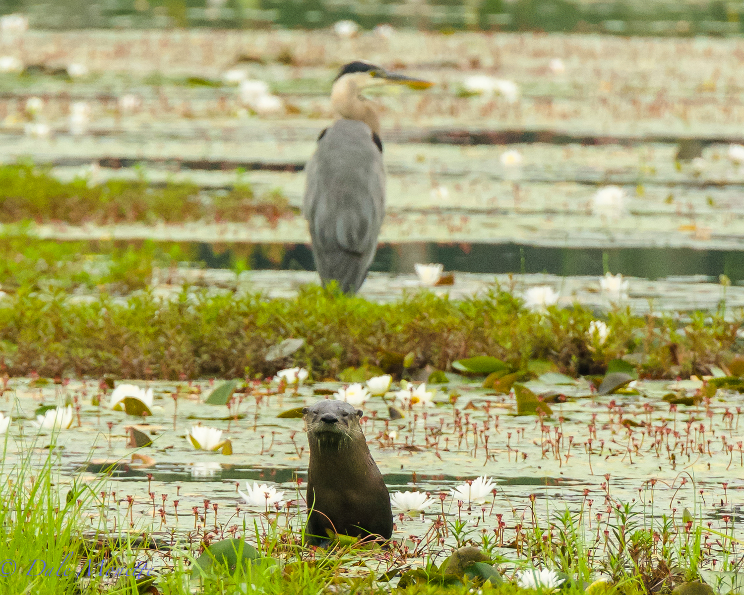 As I was watching this heron sitting on a mud and weedy patch in a swamp this otter popped up right in my viewfinder of the camera as I was looking at the heron !!  That will NEVER happen again to me.