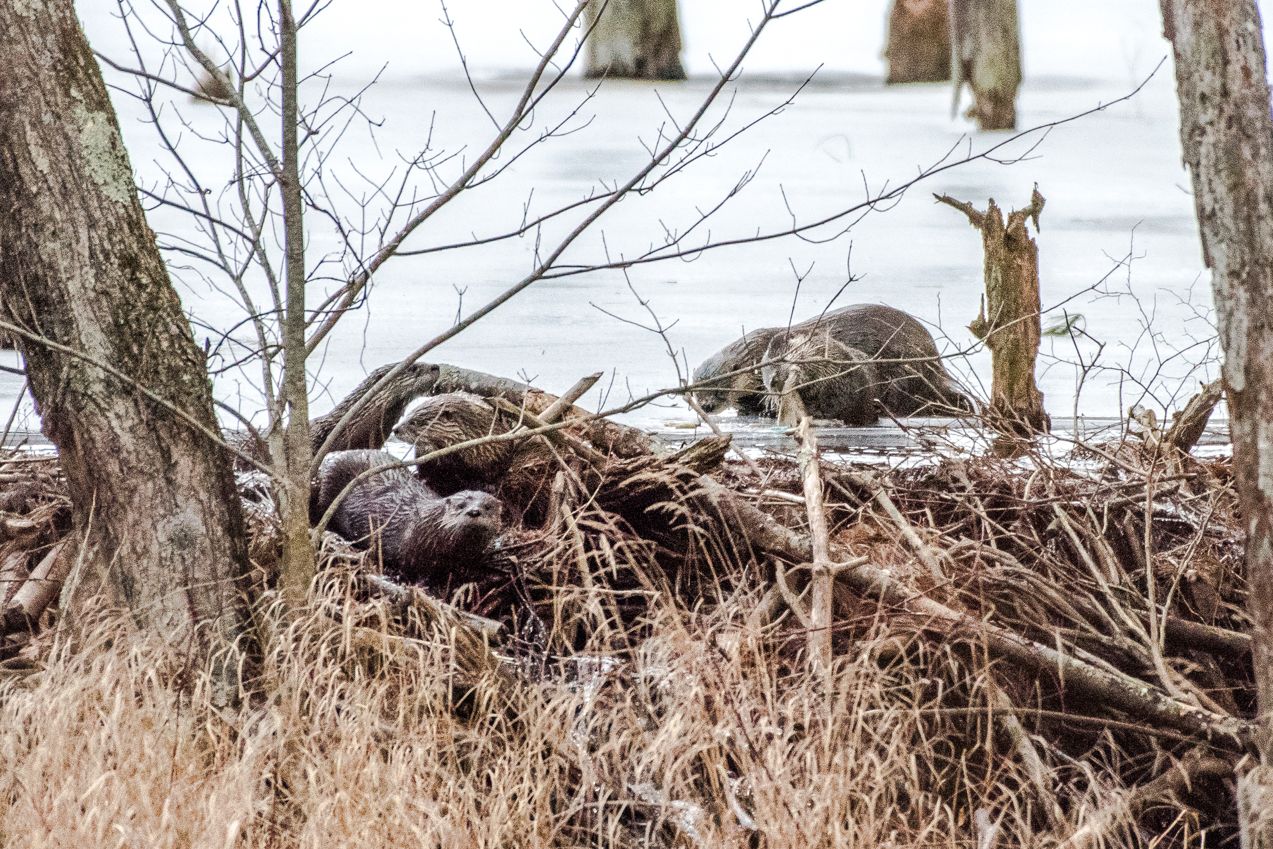 Fresh fish for breakfast. Can you see all 5 otters in this photo? 2/23/16