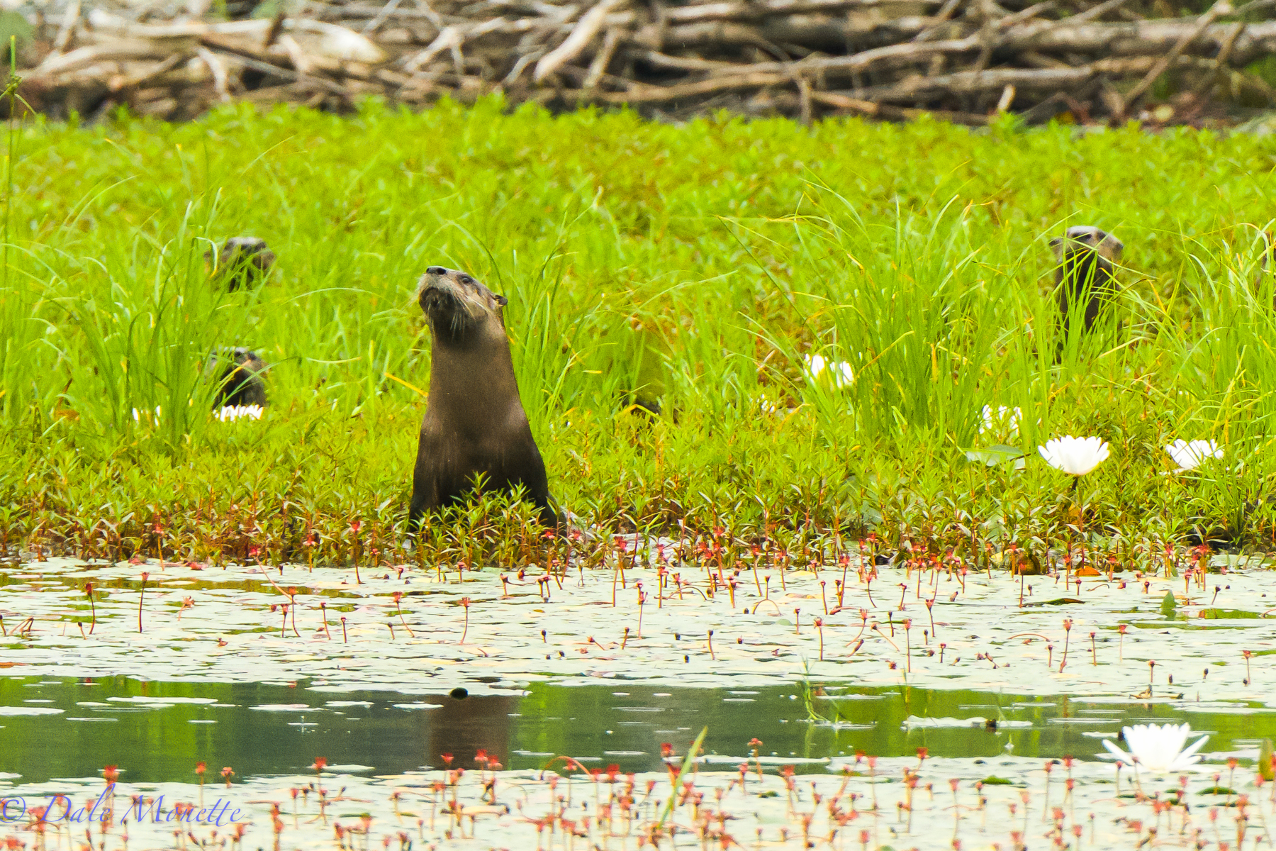 Here is the same adult otter as in the previous photo with three young ones peeking at me from behind in the tall swamp grass.