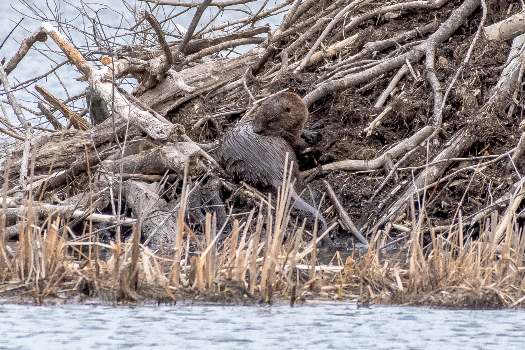 Here is the otter relaxing on a beaver lodge after feeding on fish all morning.  I love these guys!!   3/23/16
