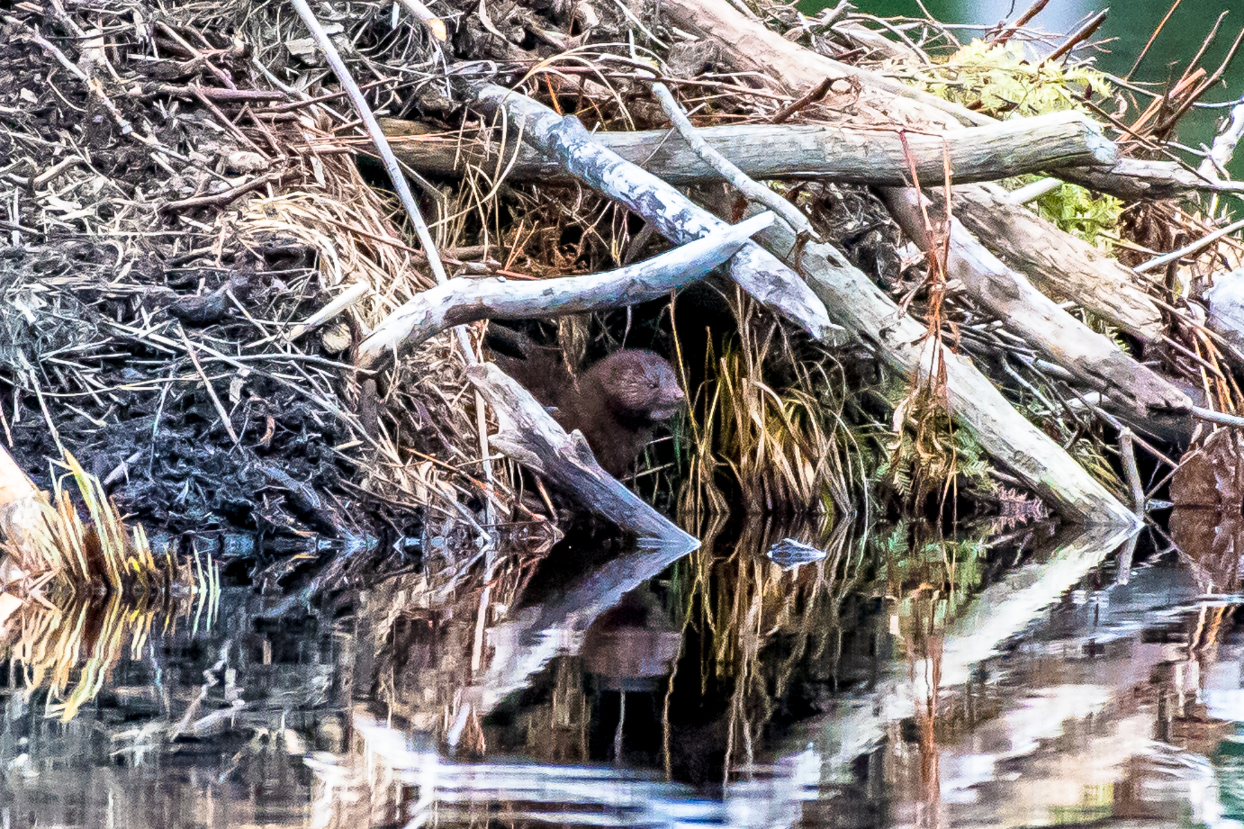 I watched a mink swim across a pond and hang out on a beaver lodge. Notice the small patch of white fur under his chin. He was there for about 15 minutes before moving on.  3/23/16