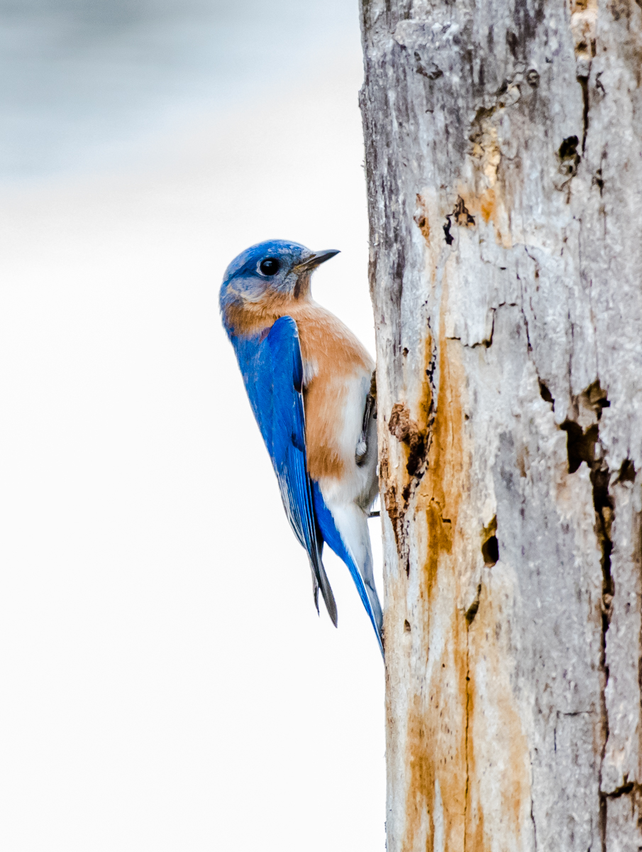 A male bluebird is inspecting a hole just out of view for a nnesting hole..... 3/21/15