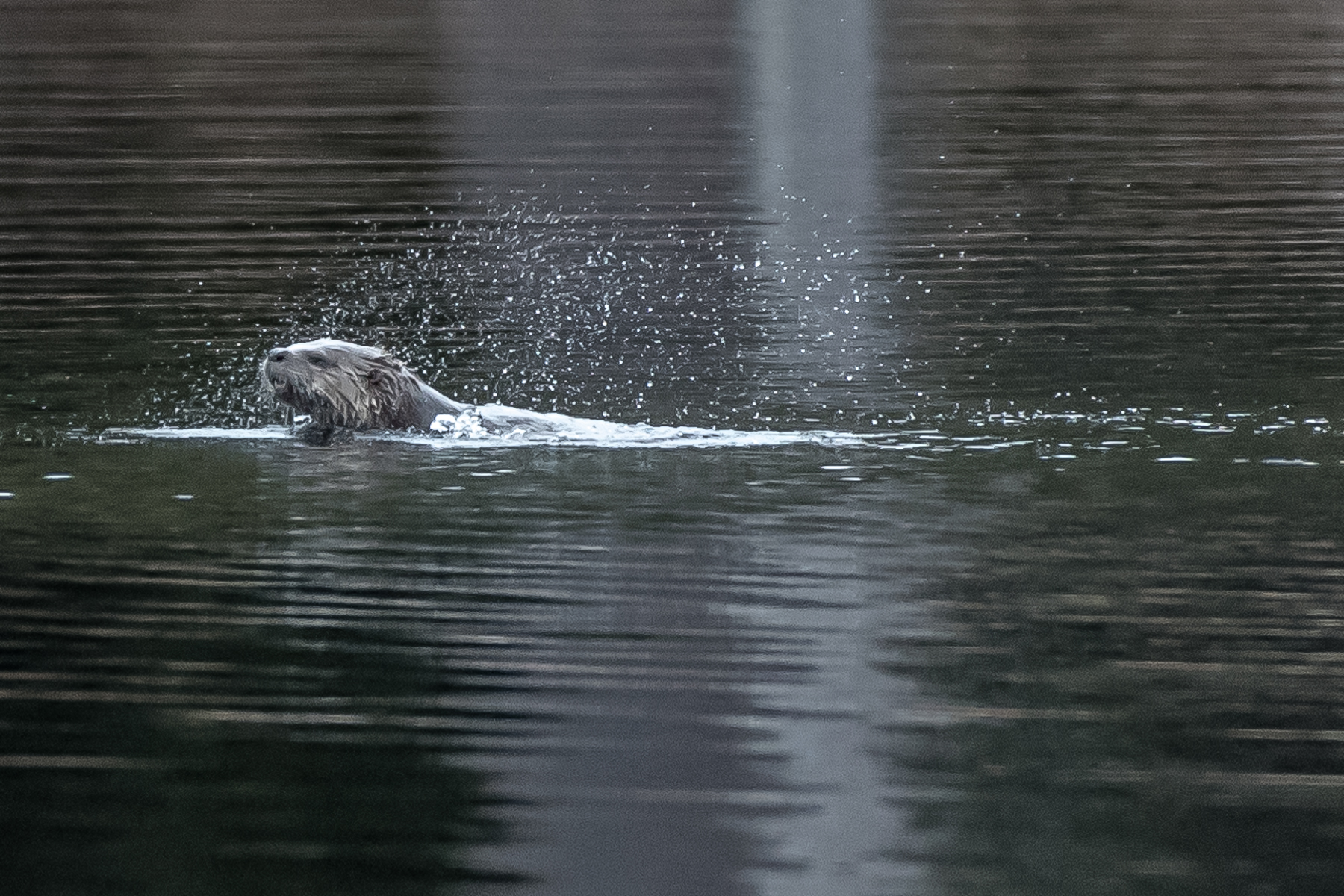 Ho Hum, another day, another otter     While sitting by a beaver pond this otter appeared fiercely fishing. Every time it surfaced it shook its head violently. I thought it would be fun to try to stop the action. 3/26/16