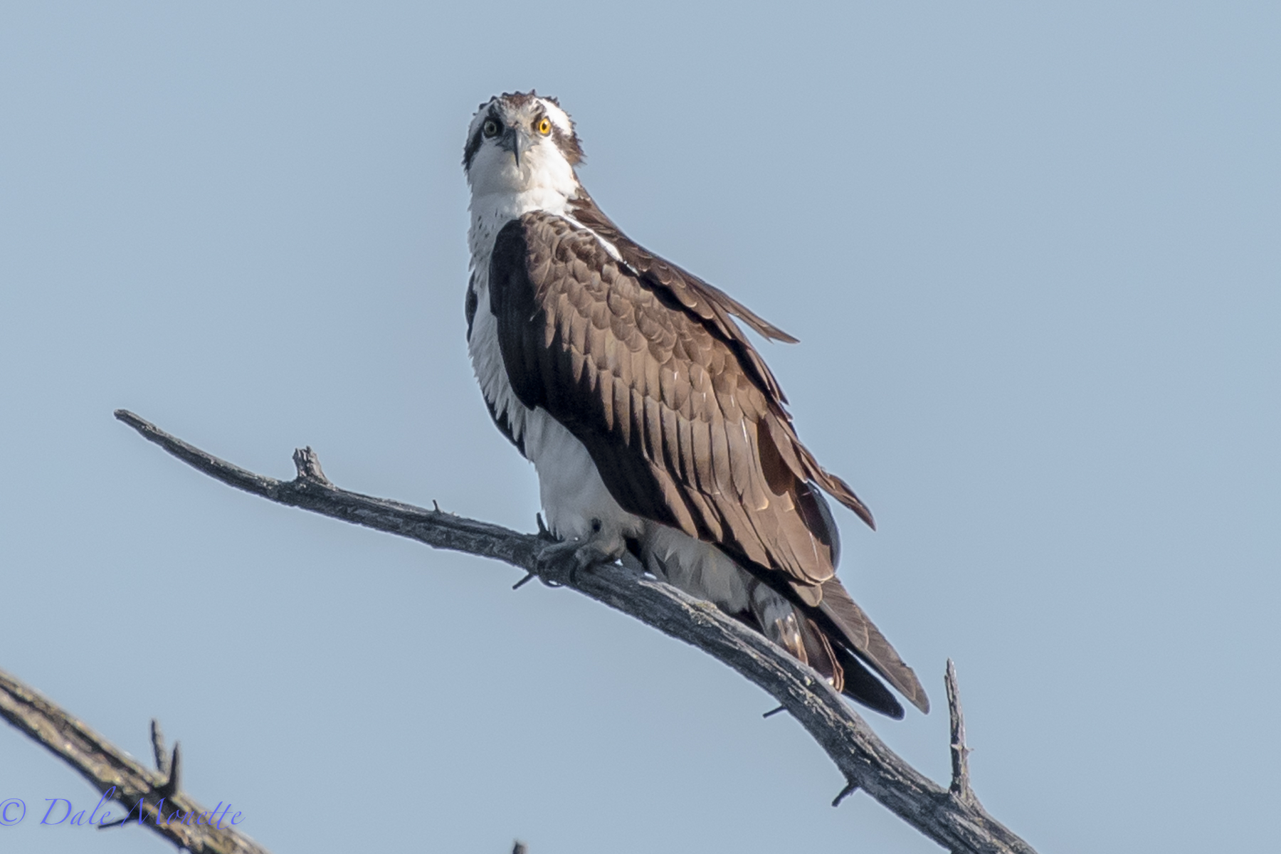 This osprey has been hanging around the beaver pond for a week now.  This is todays picture  (4/13/16).  I suspect to see him gone on his way north any day now.  Check out those wild eyes....