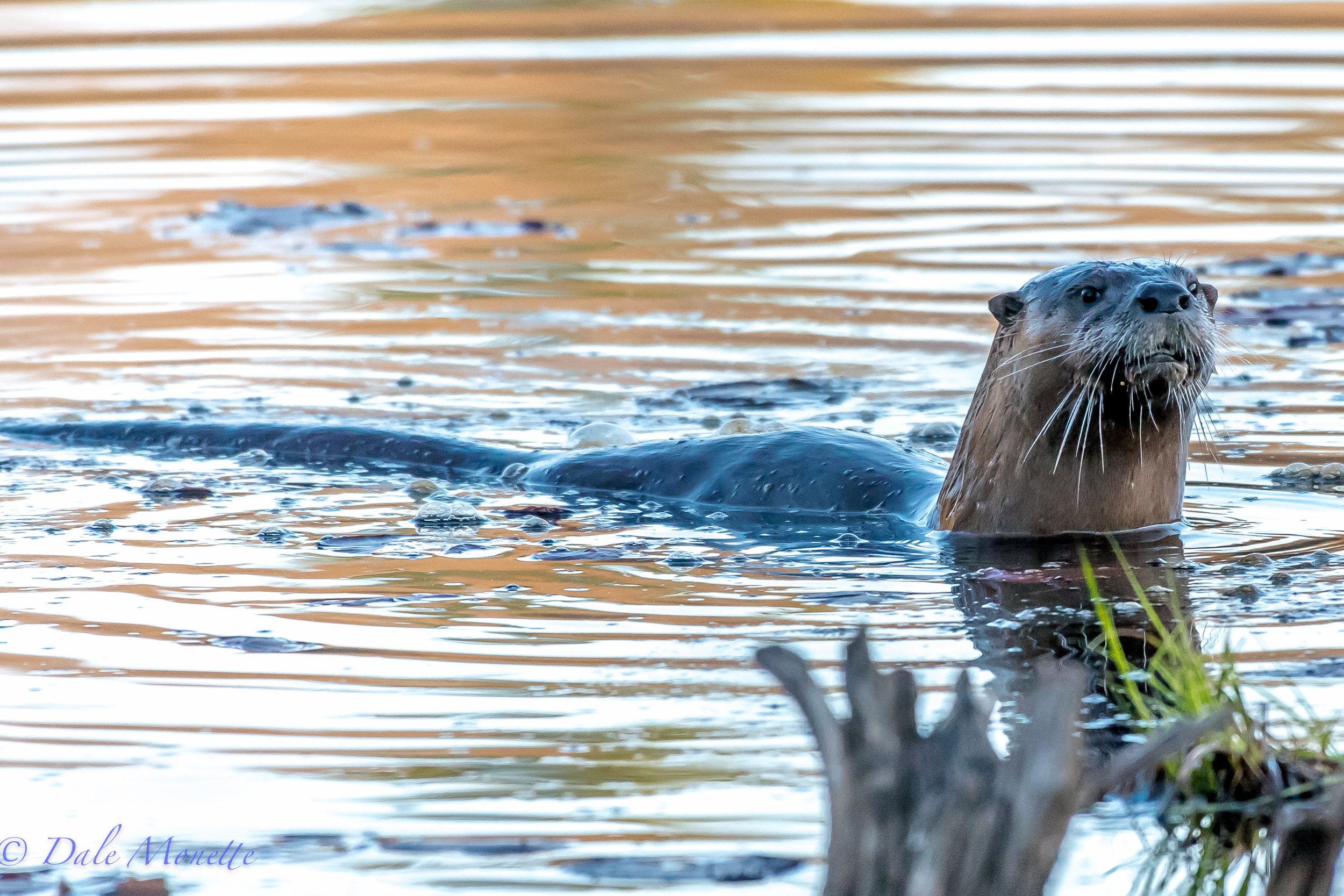 Five river otters magically appeared while I was sitting at the end of a swamp in the Quabbin. I watched them tear the place up for 90 minutes catching fish and playing. They also came out of the water to mark their territory 3 times in the 90 minutes. 4/23/16