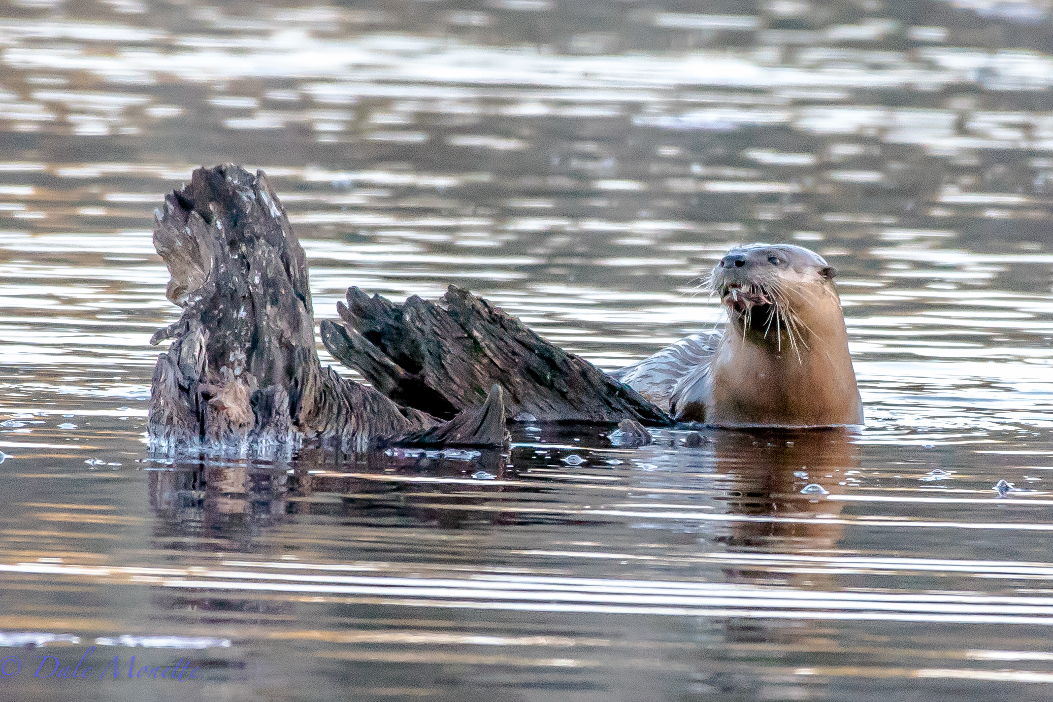 This otter popped up on the stump I usually see great blue and green herons fish from in the summer. He polished off a horn pout and left.