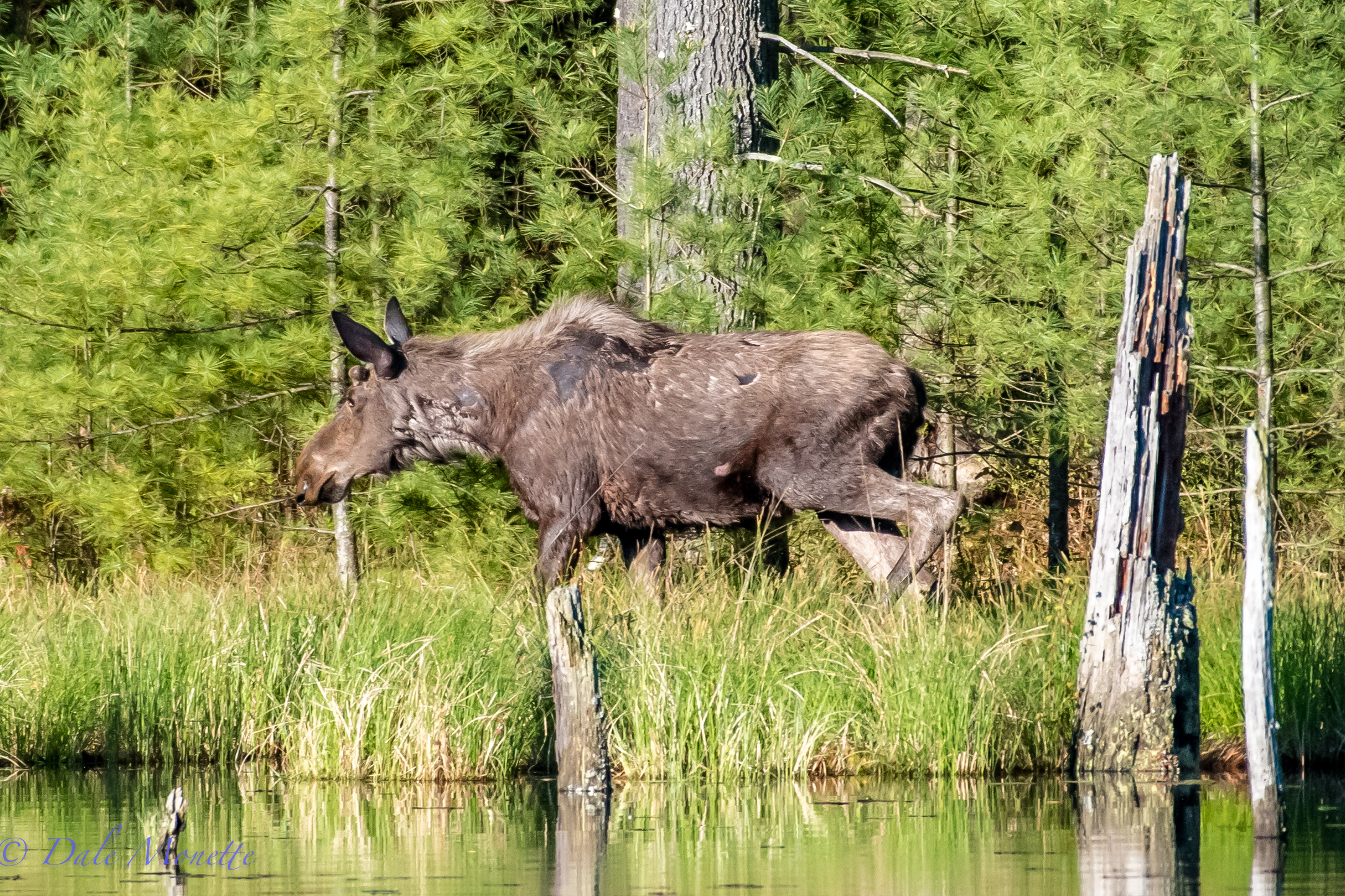 well well !!      Look who tromped right through the other side on my swamp today !!...... A young bull moose looking pretty ratty while shedding his winter coat. You can see his new antlers already starting. He didnt hang around long..... 5/9/16