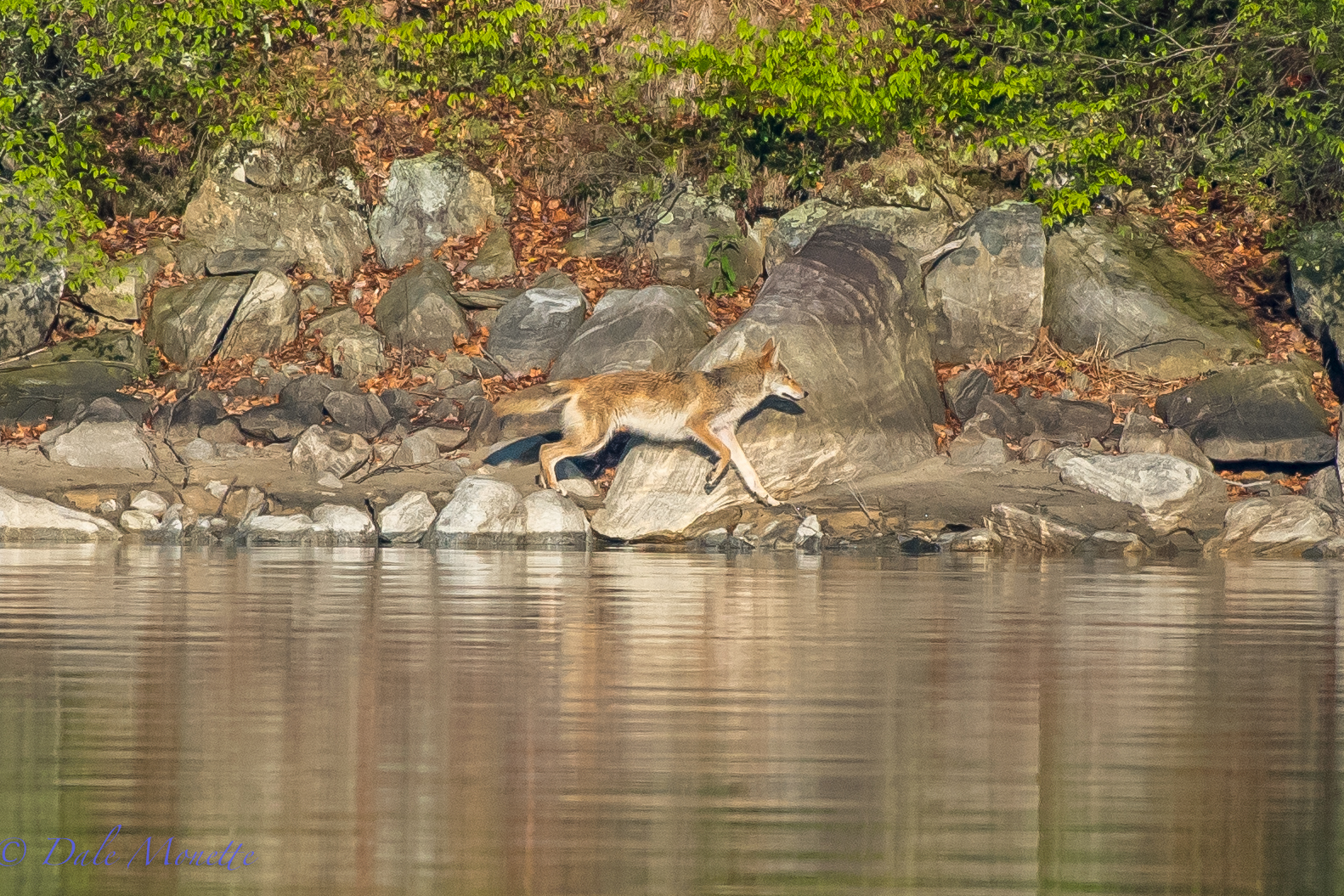I sat for over an hour on the shore of Quabbin this morning.  Finally this beautiful coyote came trotting along on one of the islands,  It was worth the wait!  5/14/16