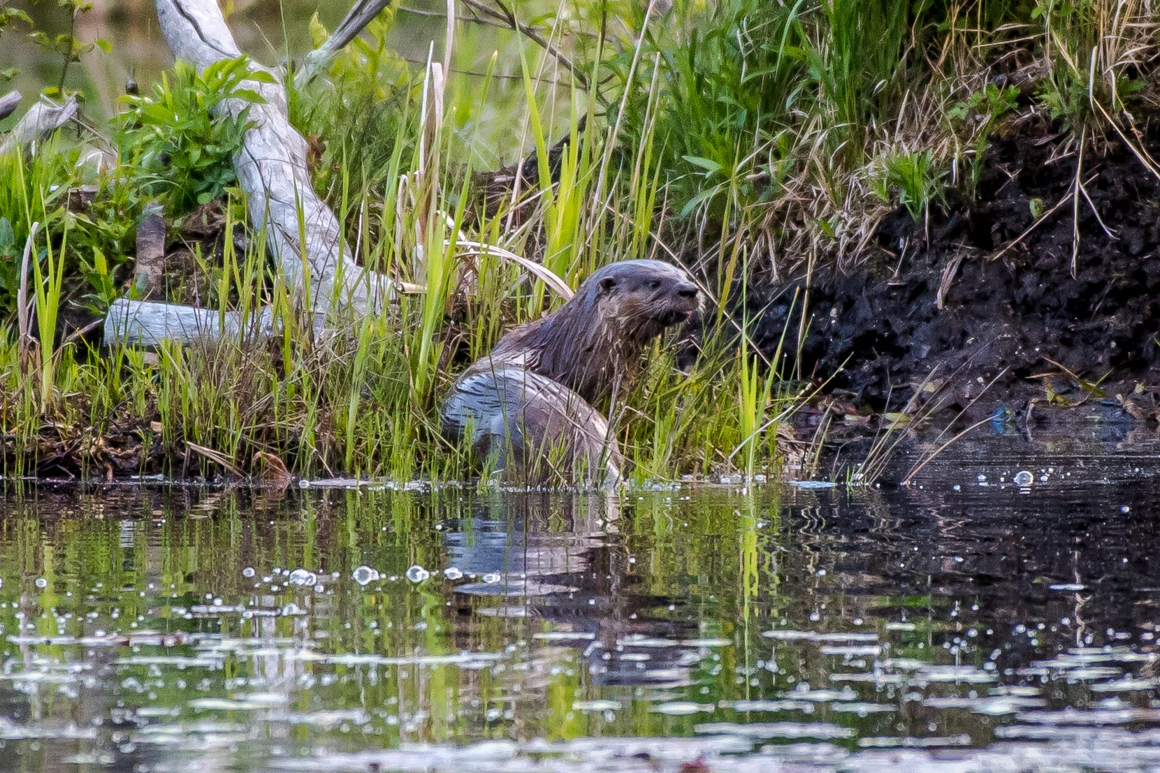 It seems lately everywhere I go I find northern river otters. I love these guys and could watch them and their antics all day. The just seem to appear, let me into a small portion of their day, and are gone as magical as they appear. Here's one of the couple I saw today. This pair I have seen a lot of as of late. 5/18/16