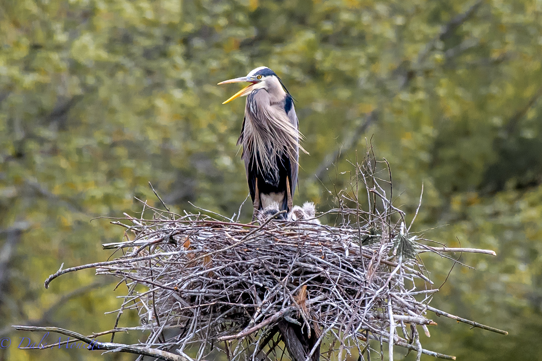 Ive been watching these herons from a far distance once a week for the last month or so because I knew there were eggs they were incubating and herons will move at the drop of a pin. Today I hiked in, crept up to where I could see through the trees and there they were ! 3 scruffy little great blue herons...