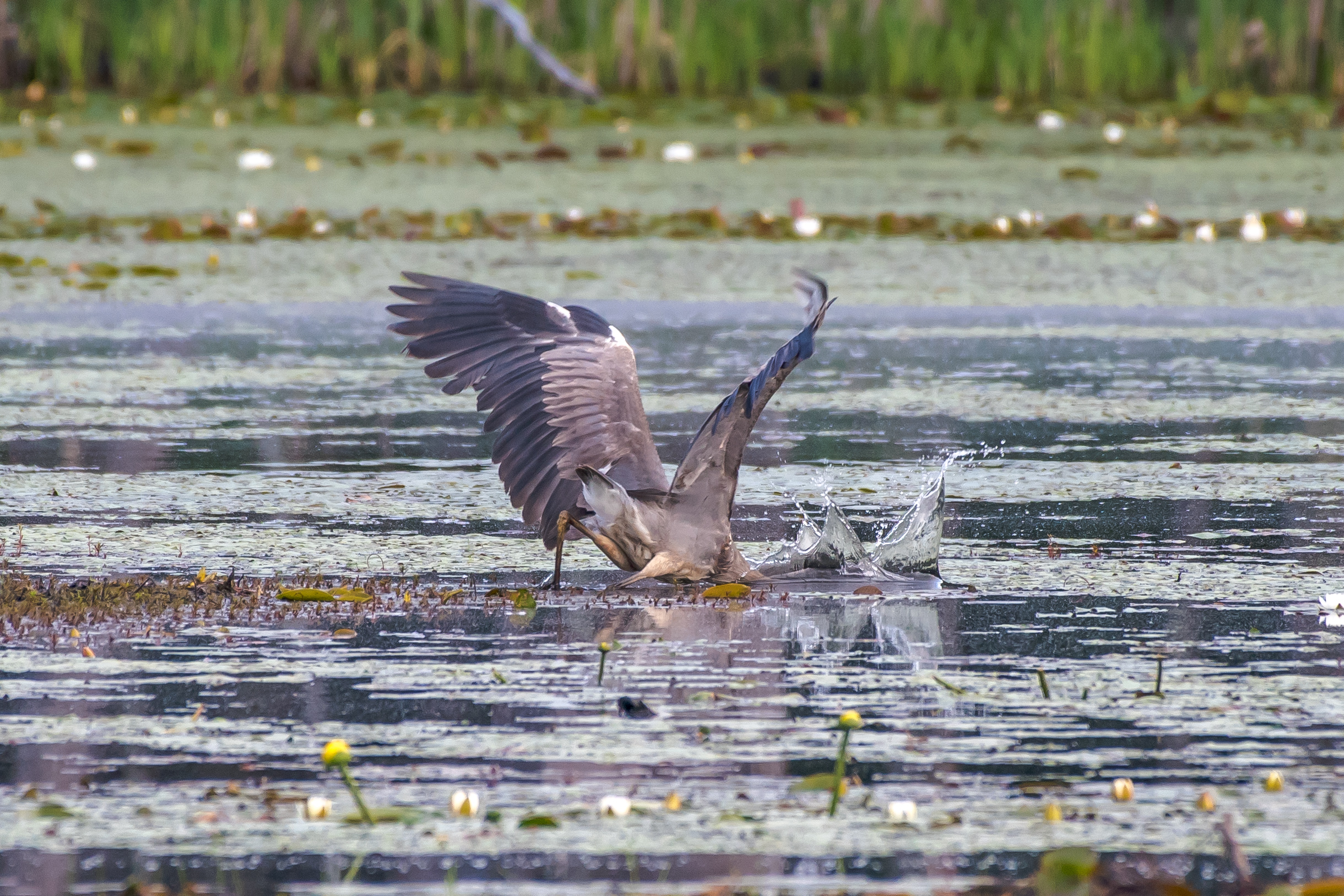 This great blue heron stabs at breakfast. The water in the beaver ponds is slowly dropping and its making great fishing grounds for these guys..... 6/2/16