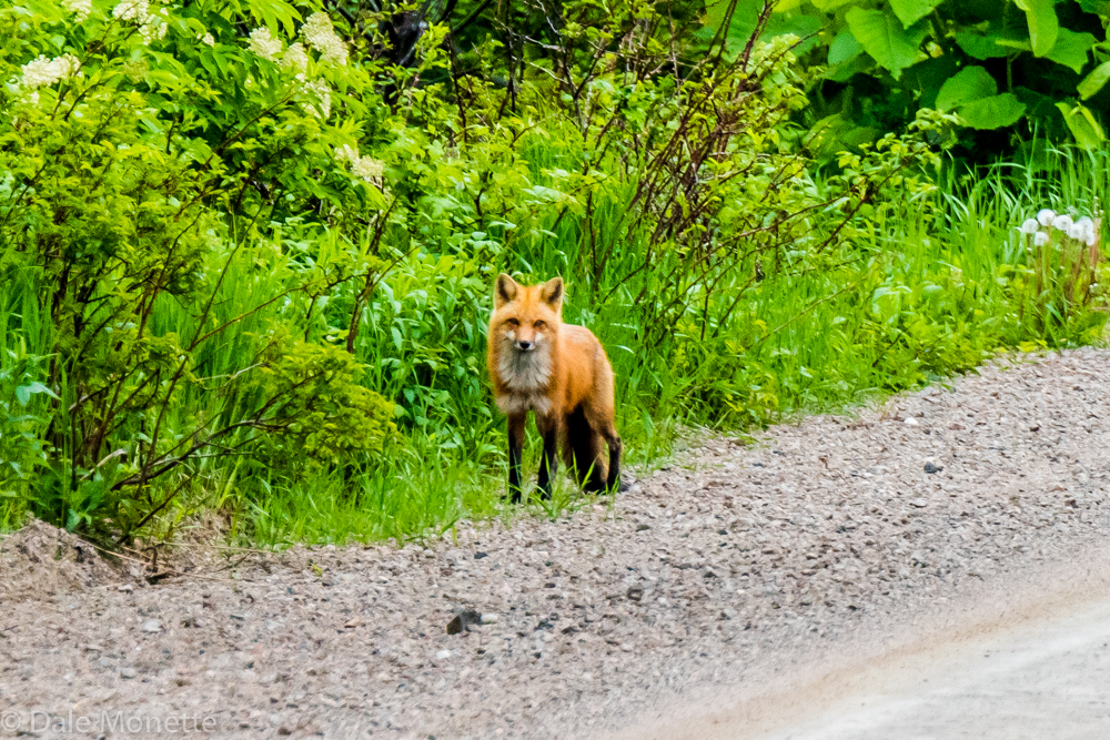 I saw this red fox walking casually down a dirt road this afternoon as I was cruising the back roads of north Cape Breton. It watched the car and when I opened the door it made for the woods....  6/12/16