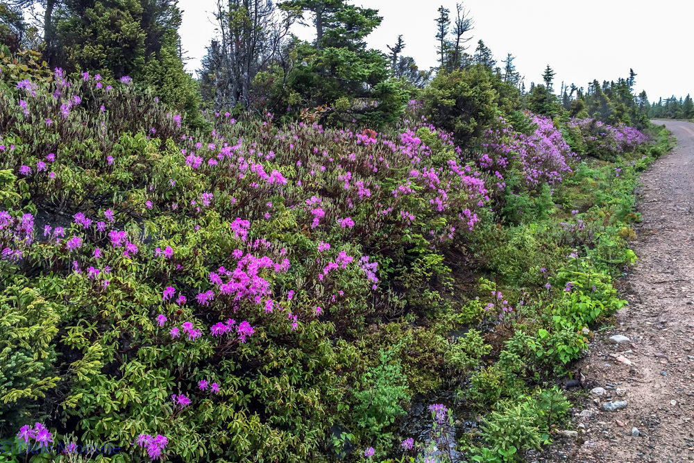 These flowers are all over the Cape Breton Highlands National Park.....6/15/16