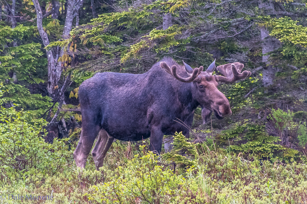 I walked up on this guy feeding in a small pond and watched him for 45 minutes in the rain. An adult moose needs to munch 50 pounds a day of grasses, bark and leaves.   Cape Breton Highlands National Park, Nova Scotia...... 6/15/16