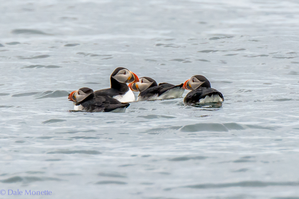 A group of puffins bob in the water off of Cape Breton near Bird Islands.  These little guys spend all year out to sea and only come to land to nest.  This is one of their nesting islands.  6/16/16