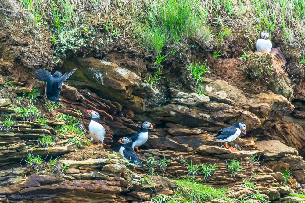 Here's a group of puffins hanging out on their front porches in front of their nesting burrows.  They are discussing the Red Sox's chances and who will be the nest president.  I overheard one of them say he was glad they live way out to sea for 10 months a year!