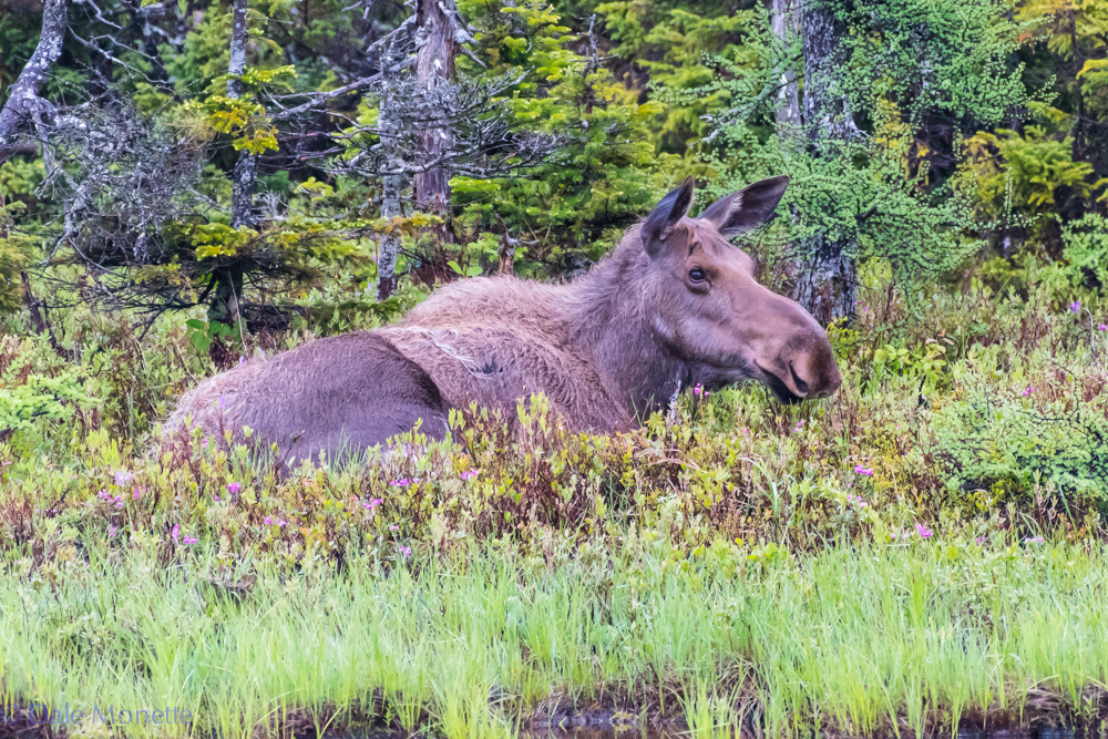 Today was a four moose day. It started off with this gal laying up along a small pond in the Highlands National Park. I hiked in a mile to this pond and she left on her own about 30 minutes after I arrived. 6/17/16