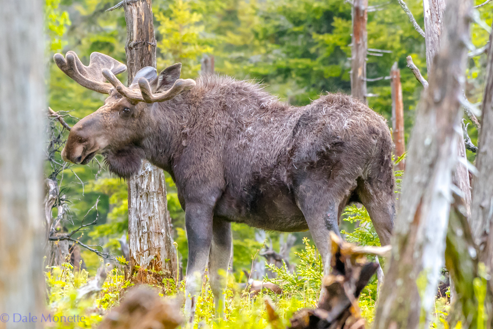 Here is moose number 2 today. The moose up here on Cape Breton are still shedding and this guy looks like a scruffy dude. Benji's Lake, Cape Breton Highlands National Park, Nova Scotia. 6/17/18