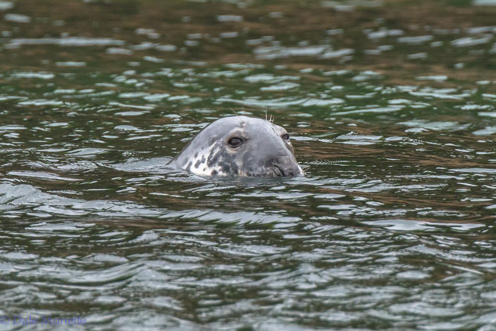 A grey seal gives us the seal of approval out at Bird Islands Seabird Sanctuary 7 miles out into the Atlantic Ocean off of Cape Breton.  6/18/16