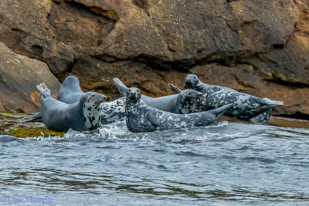 Here are 7 grey seals lounging about on the shore of Bird Island off the coast of Cape Breton Males can grow to be almost 8 feet long and weight 680 pounds.  6/15/16