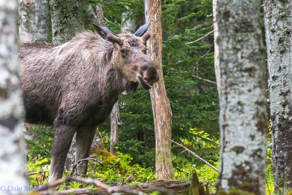 This scruffy young bull moose saw me before I saw him. Then we played peek-a-boo for about ten minutes.........I won !!