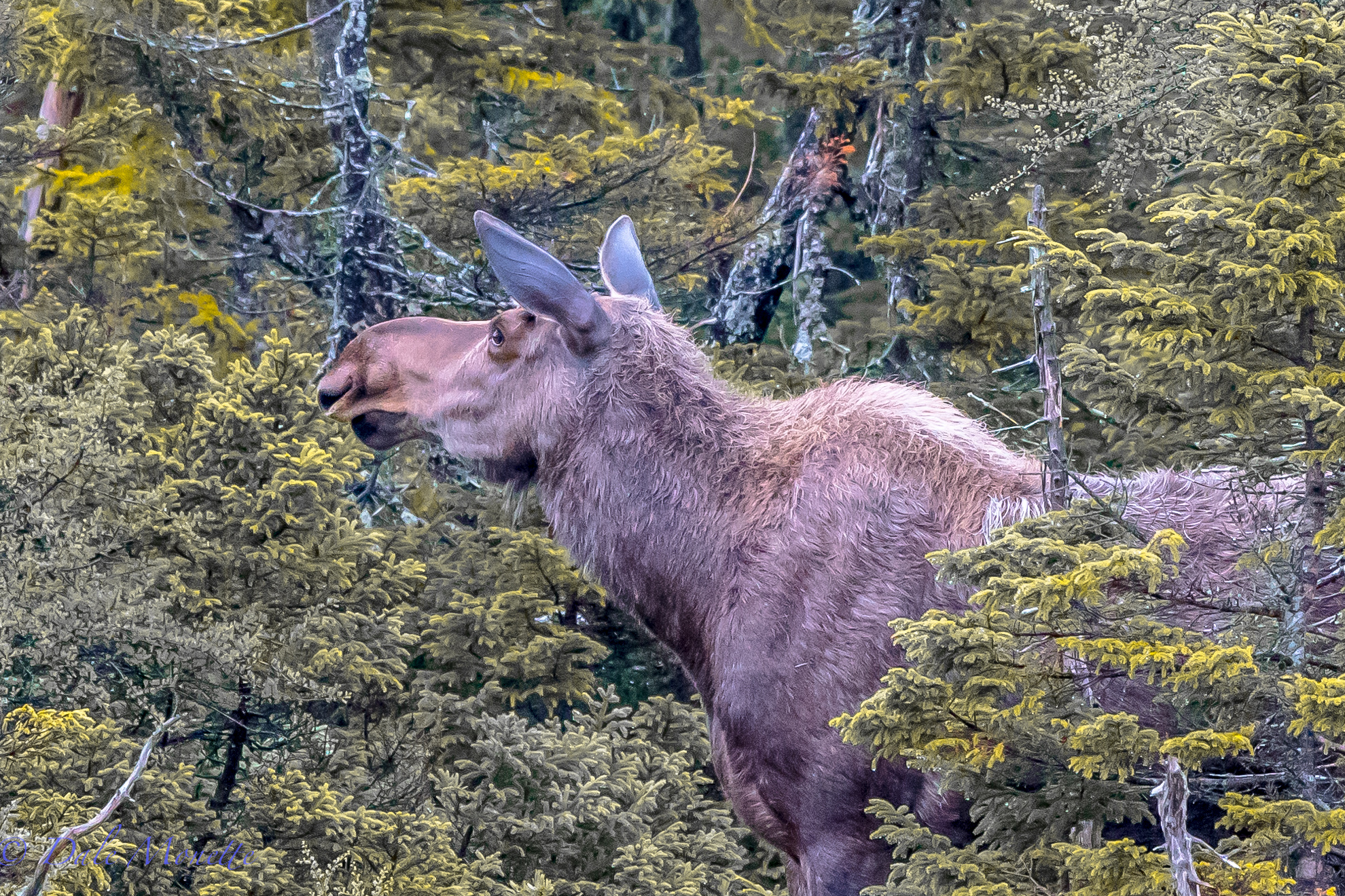 A female moose detects maybe another moose clumping through the woods or she sniffs another one coming. They have a great sense of smell. Benji's Lake, Cape Breton Highlands National Park, Nova Scotia. 6/21/16