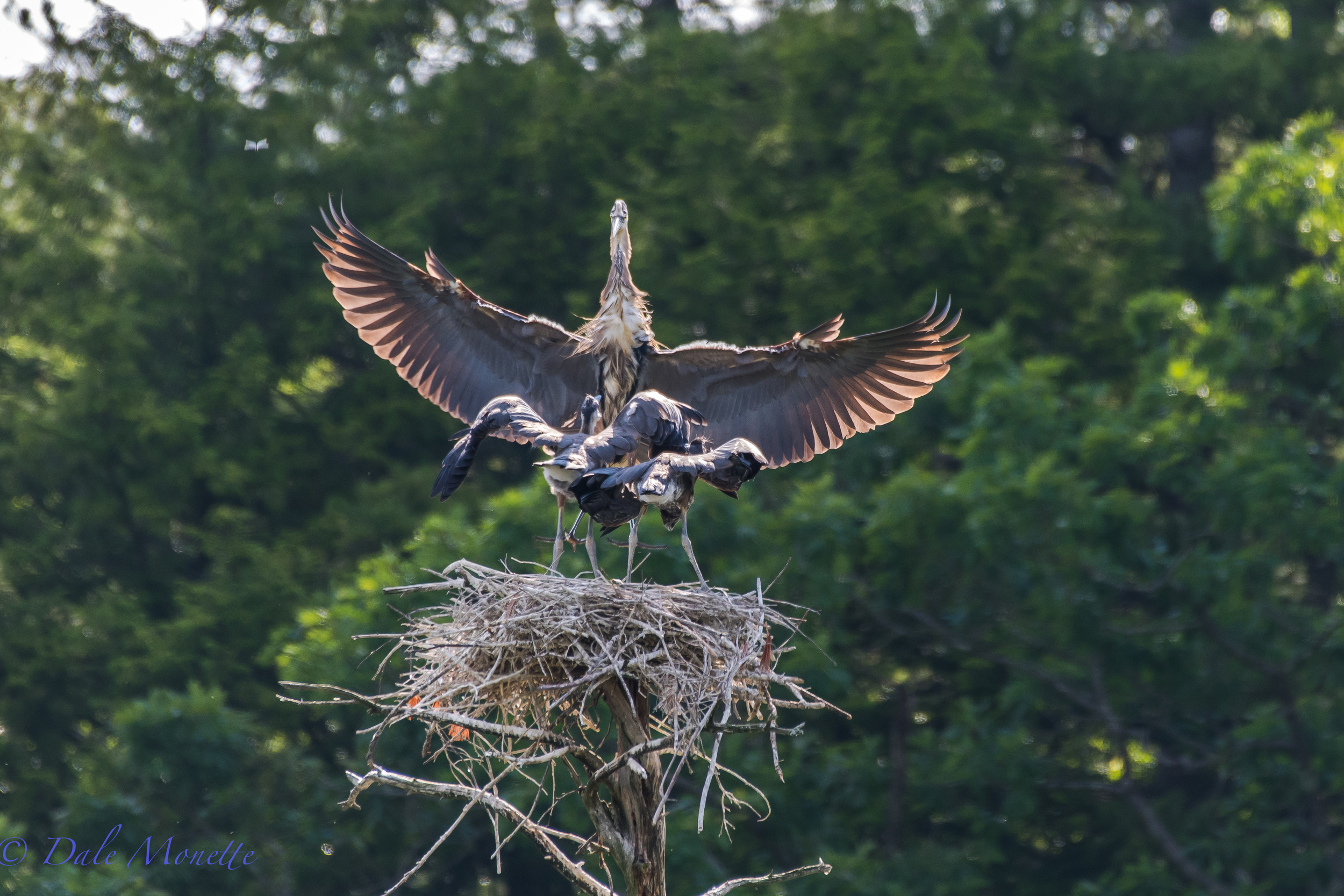 """""""Dads here with lunch !""""  Two of three great blue heron chicks are greeting dinner from one of their parents landing. The third chick has already left the nest. I suspect these 2 will be gone from the nest within a week. 6/29/16"""