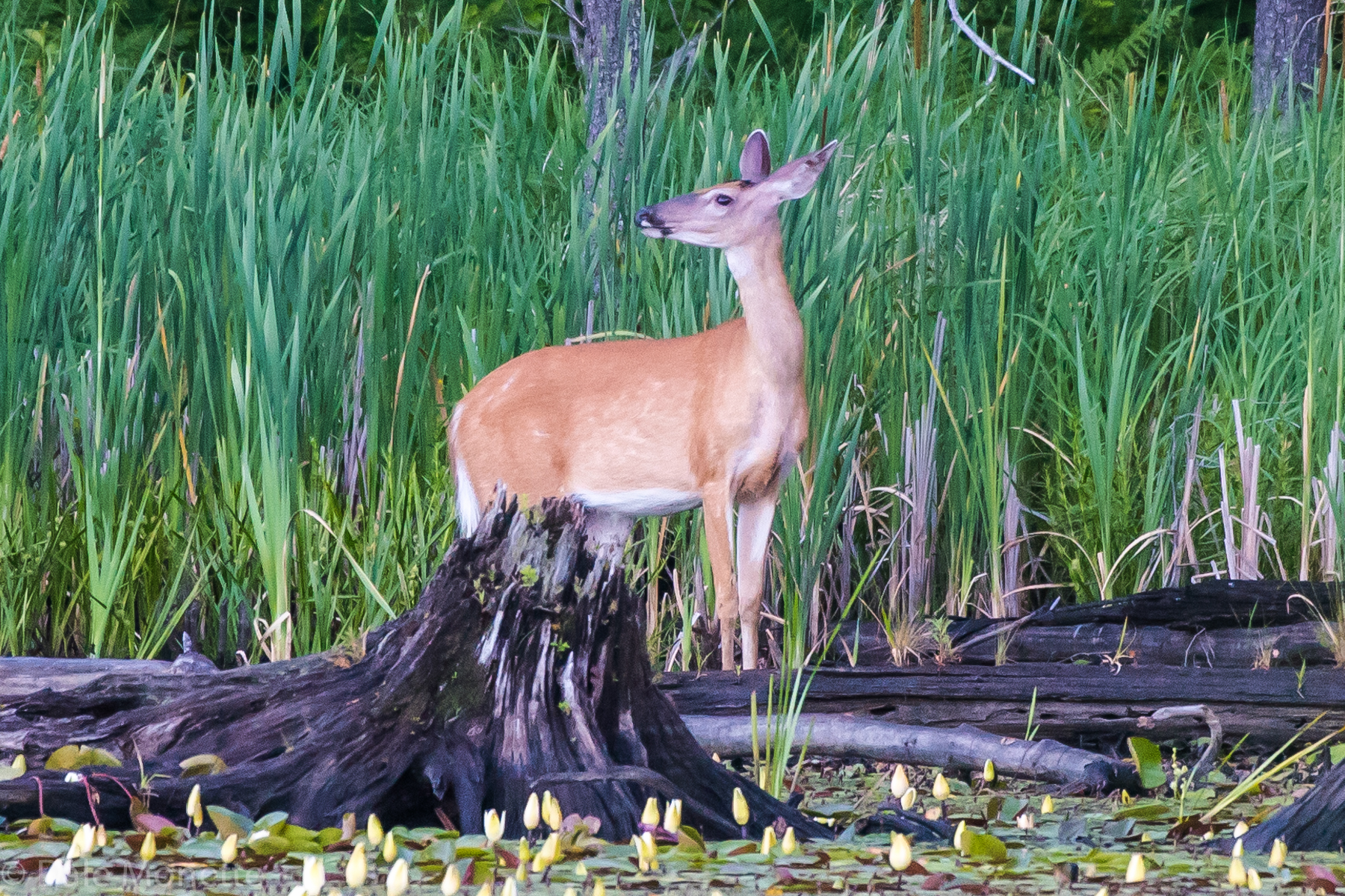 One of the three white tailed deer I see occasionally in a certain swamp. She was onto me here !.... great gentile animals to watch when they are going about their life. Especially with other deer. 7/1/16