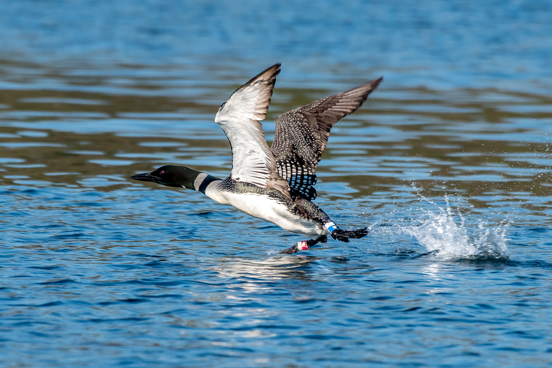 Common loons need a long way to take off from the surface of the water. Here is a loon getting up speed to take off. You can see the research bands on this legs of this bird.... 7/6/16