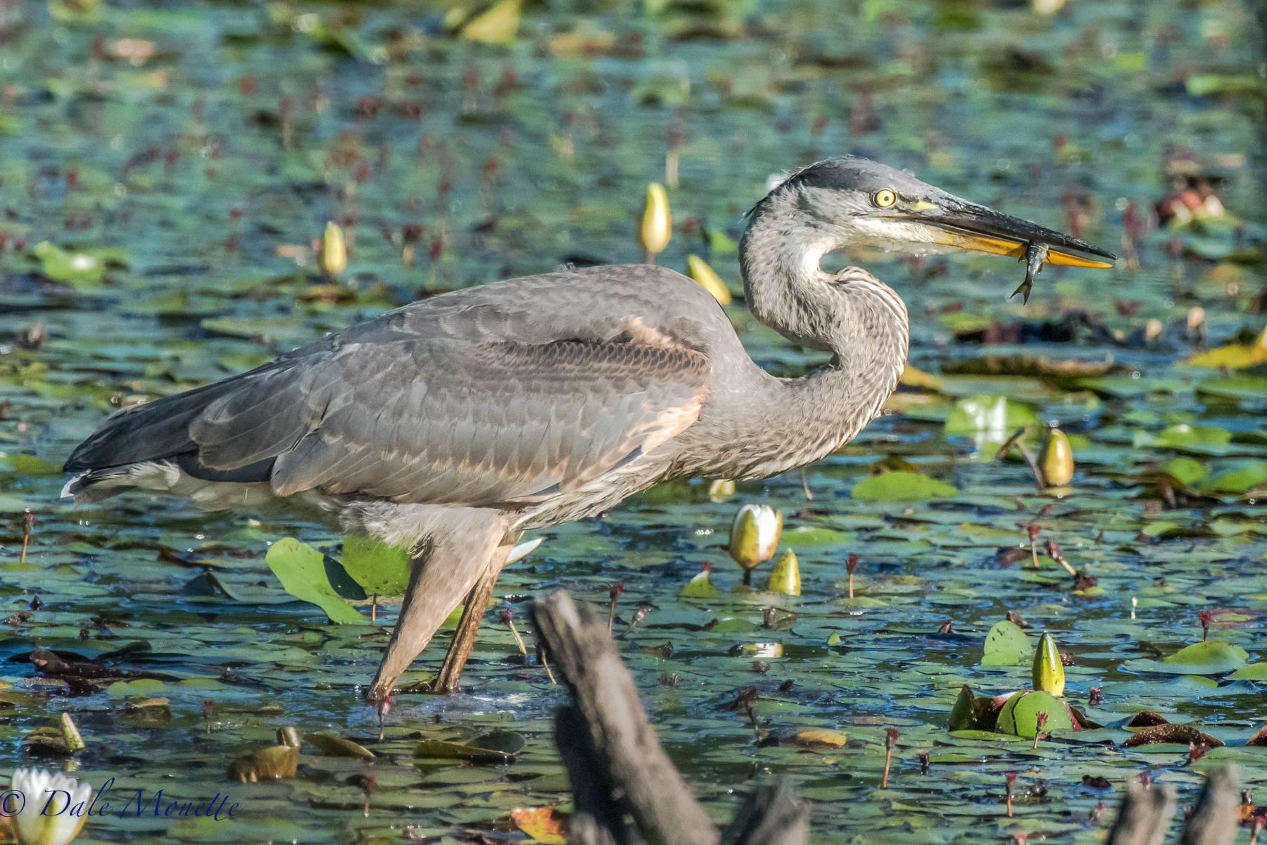 Young of the year great blue herons are leaving their nests and starting to show up in the local swamps, ponds and waterways. Here is a young one I found fishing today in Petersham.  7/19/16.