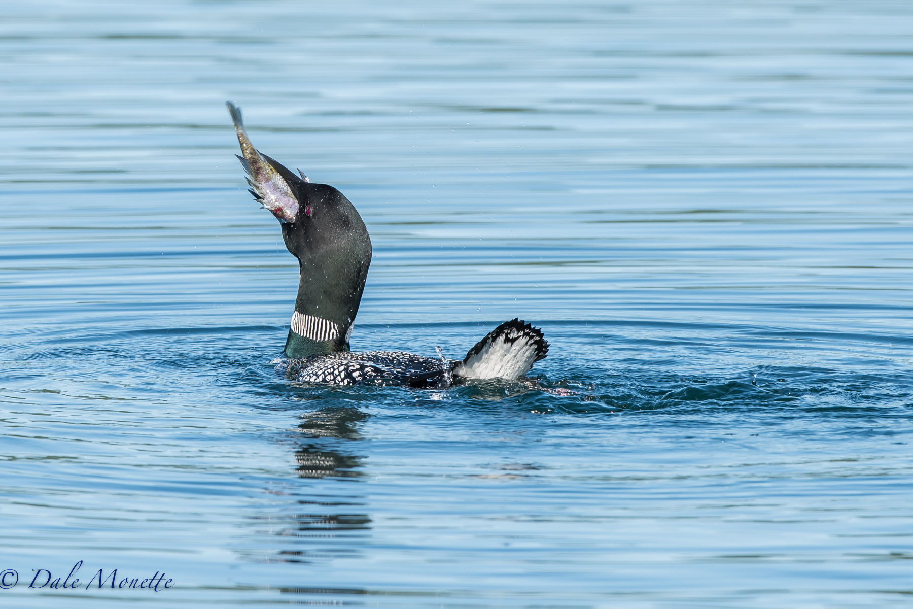 Down the hatch !! well, maybe. We saw this female loon struggling with a sunfish this morning at Quabbin.When we left her she was still working on the fish. When we returned to the area 3 hours later she was still there but the fish was gone. This was taken with a Nikon D810 and a Nikon 200-500mm lens.