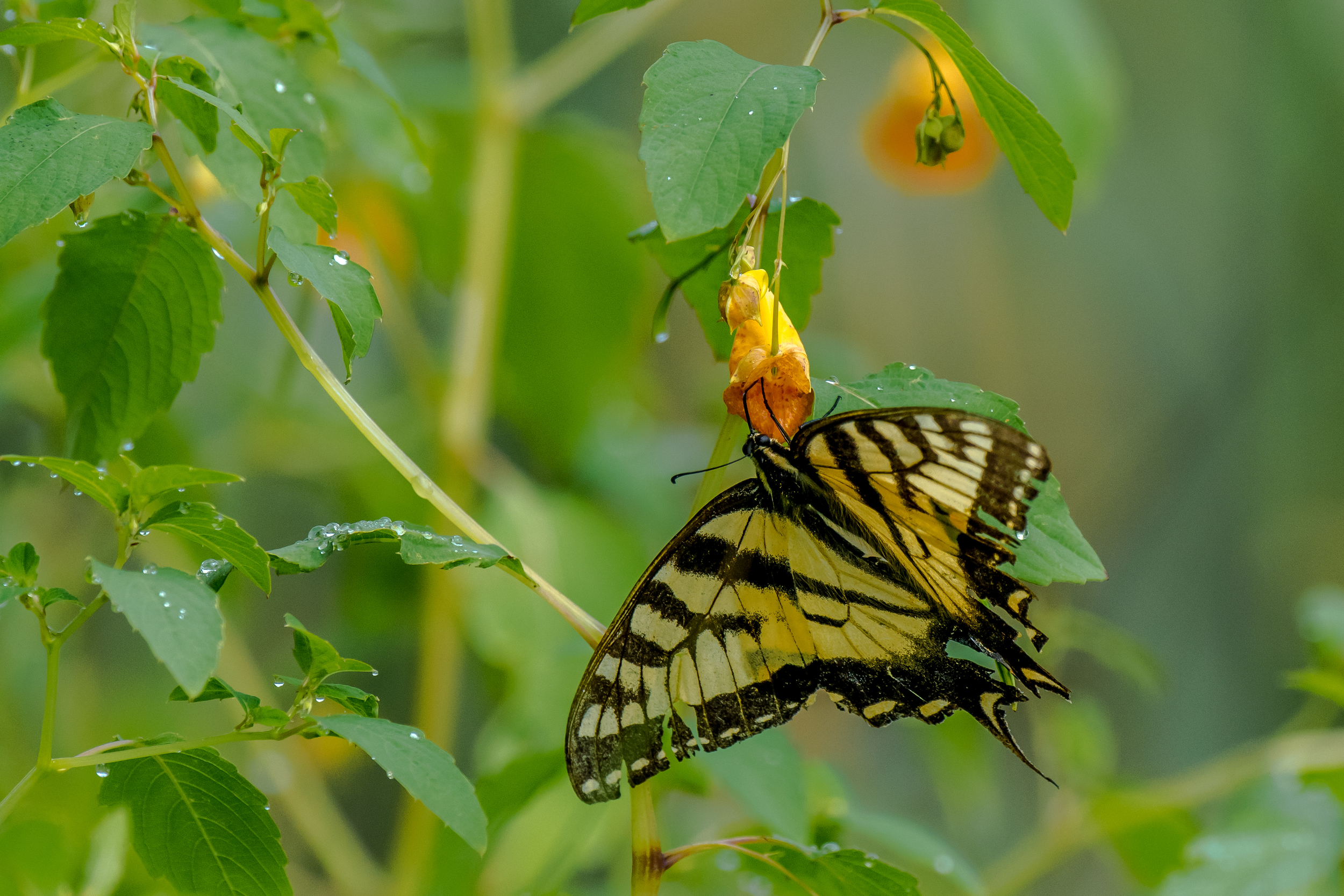 Here is a pretty battered looking tiger swallowtail butterfly that was feeding on this jewel weed plant at pond side a few days ago. I just happen to see it in the early morning while the dew was still all over the plants and grass. 7/31/16
