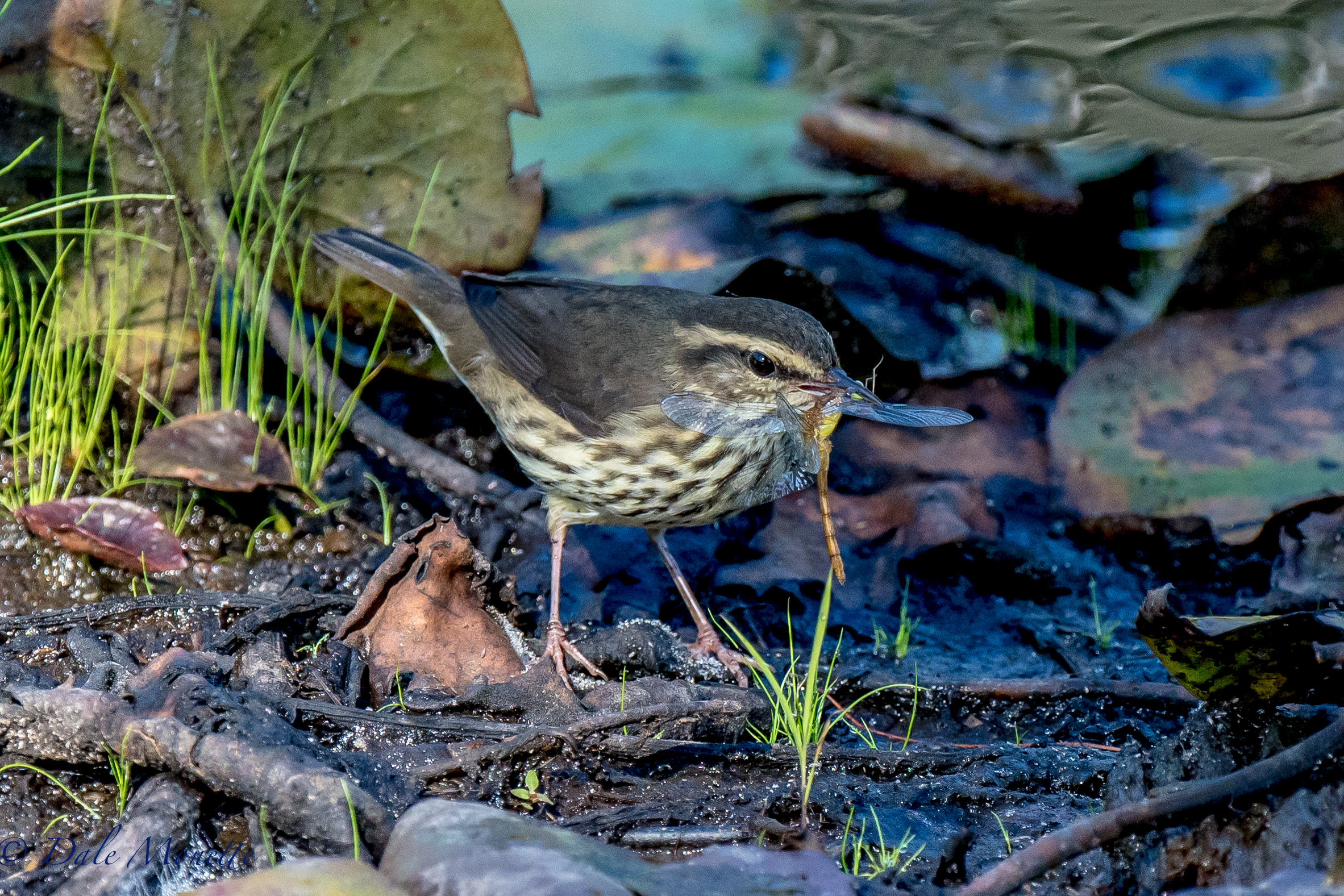 A northern waterthrush wrestles with his breakfast this morning, a large dragonfly.  8/8/16