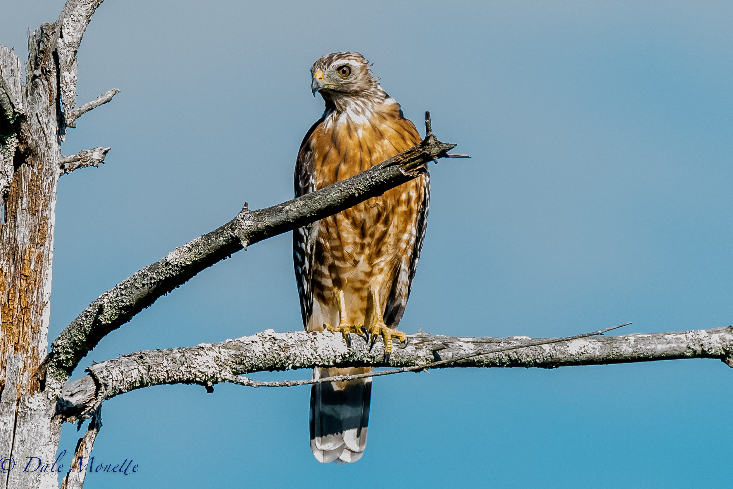 A juvenile red shouldered hawk landed right beside me in a dead tree in a swamp this morning.  A few minutes later I saw him flying along with his breakfast in his talons.  8/12/16