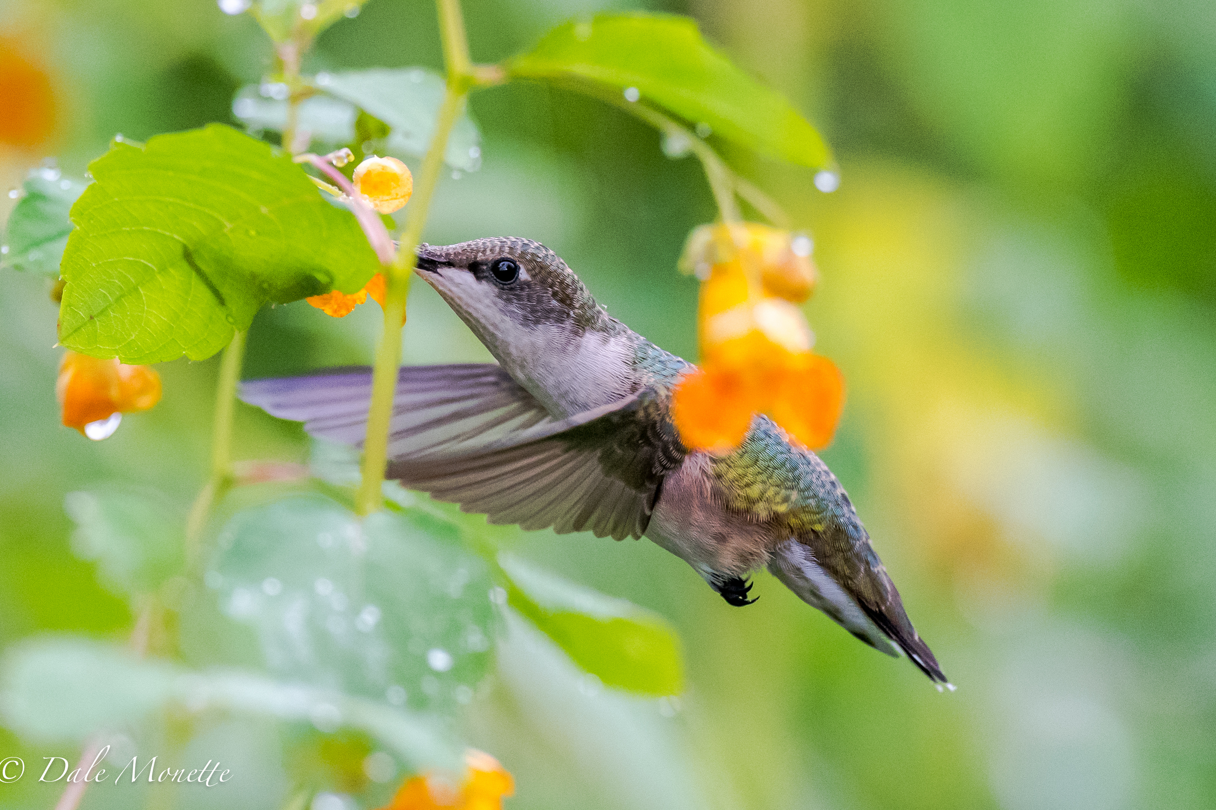 In order to stop the wings in mid action on this female ruby throated hummingbird I had to set the ISO on my Nikon D810 camera at 3200 and my shutter speed at 1/2000 of a second.   8/8/16