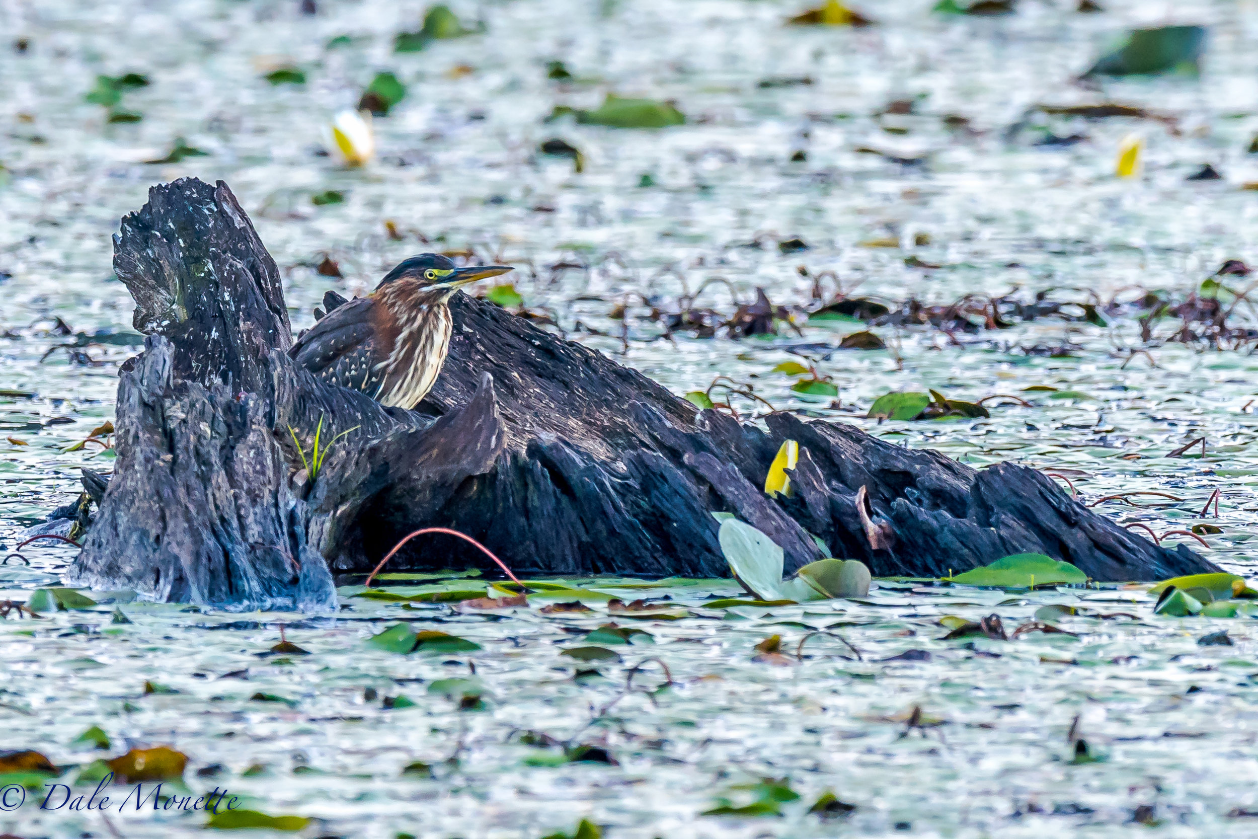 A juvenile green heron is watching the world go by in a hollowed out stump. 8/25/16