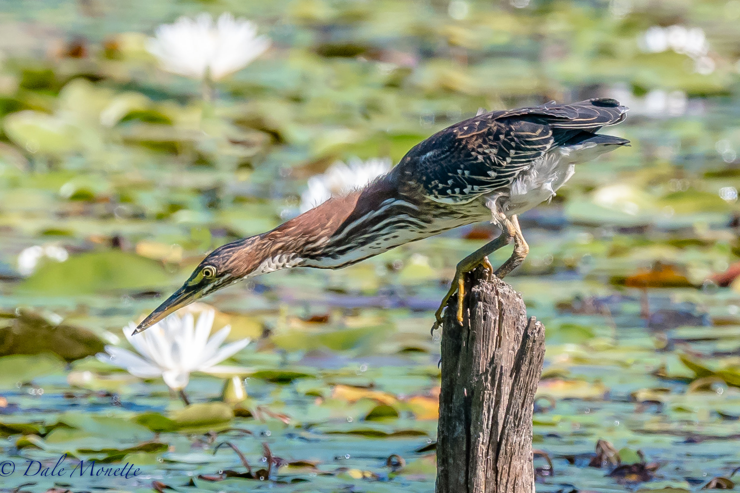 I waited 5 hours for this green heron to land on this stump and start fishing ! 8/27/15