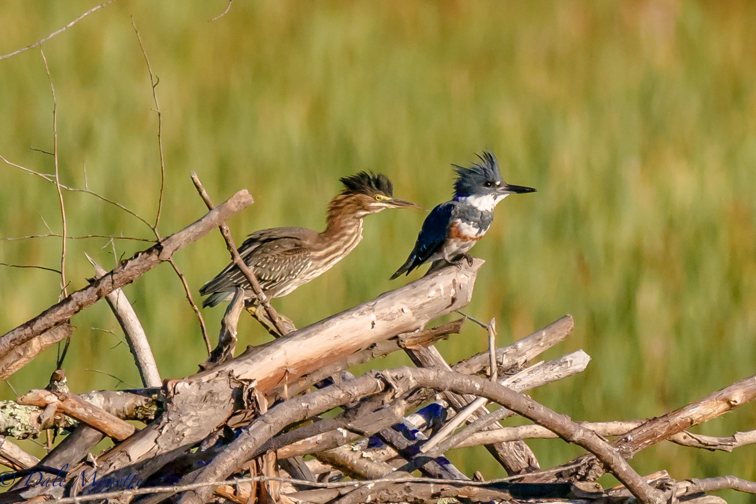""" It must be the water in this pond""......      (green heron and female belted kingfisher)  8/27/16"