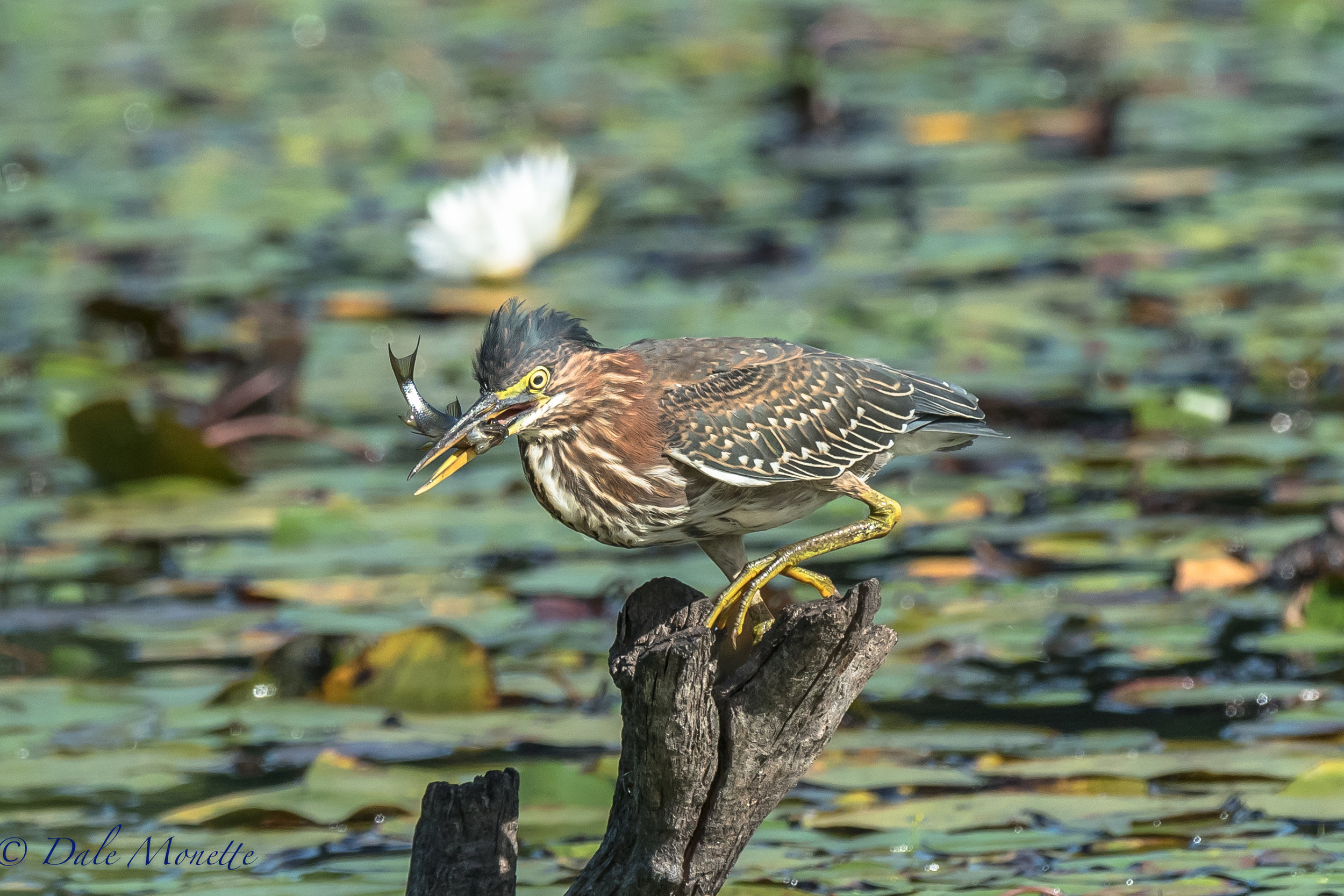 another green heron makes breakfast appears !!