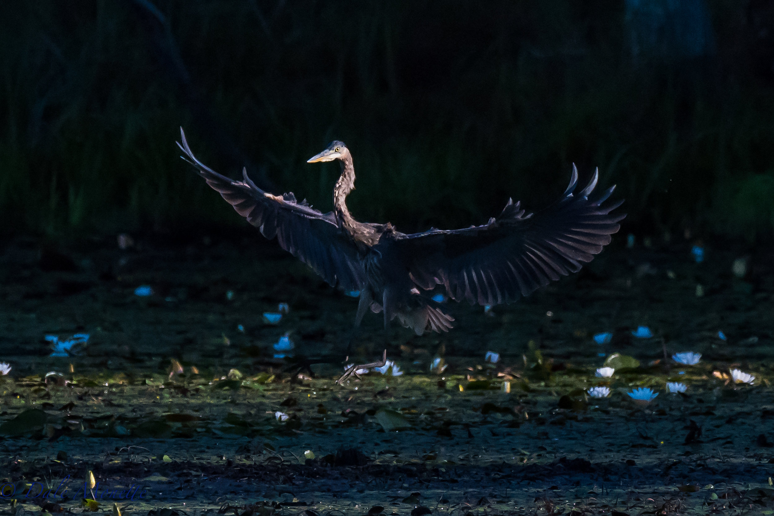 This crack of dawn great blue heron came gliding into the swamp as the sun was just starting to come thru the trees..... the best time of day! 8/30/16