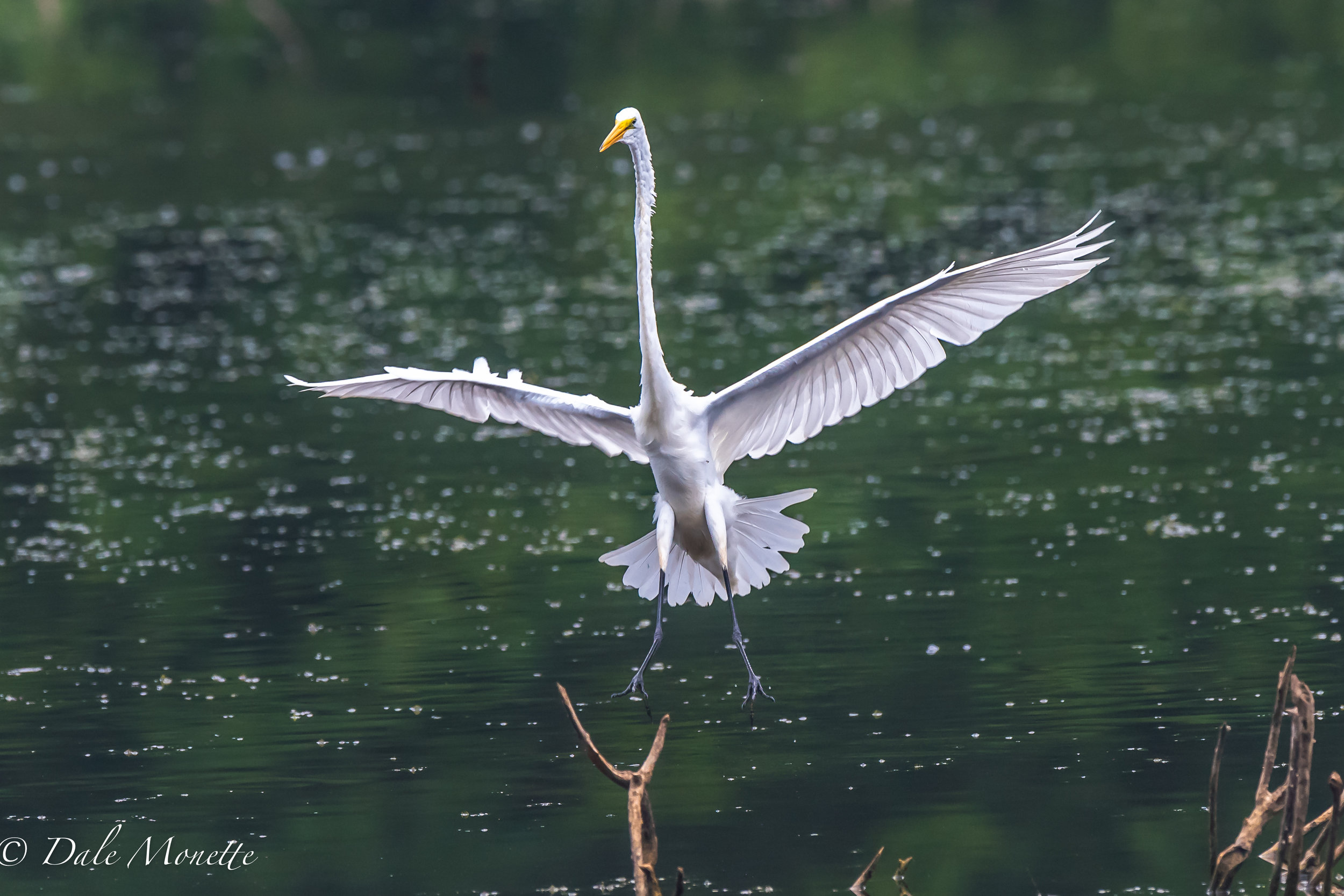 Another great egret coming in for a landing. 9/1/16