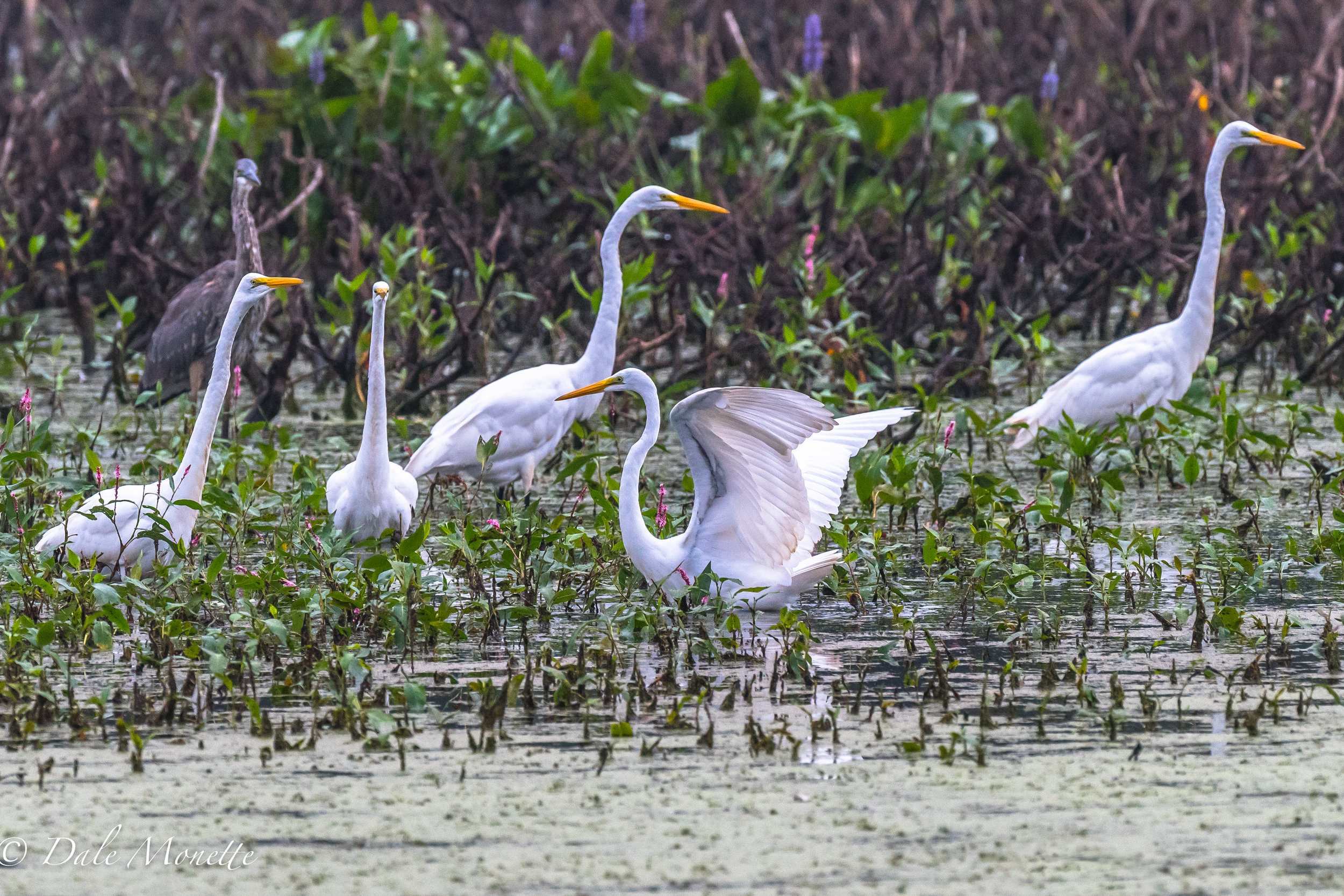 I spent the day with about 30 to 40 great egrets in south western MA.  These birds are great to watch and wander in the late summer after nesting season ends for them.  9/1/16