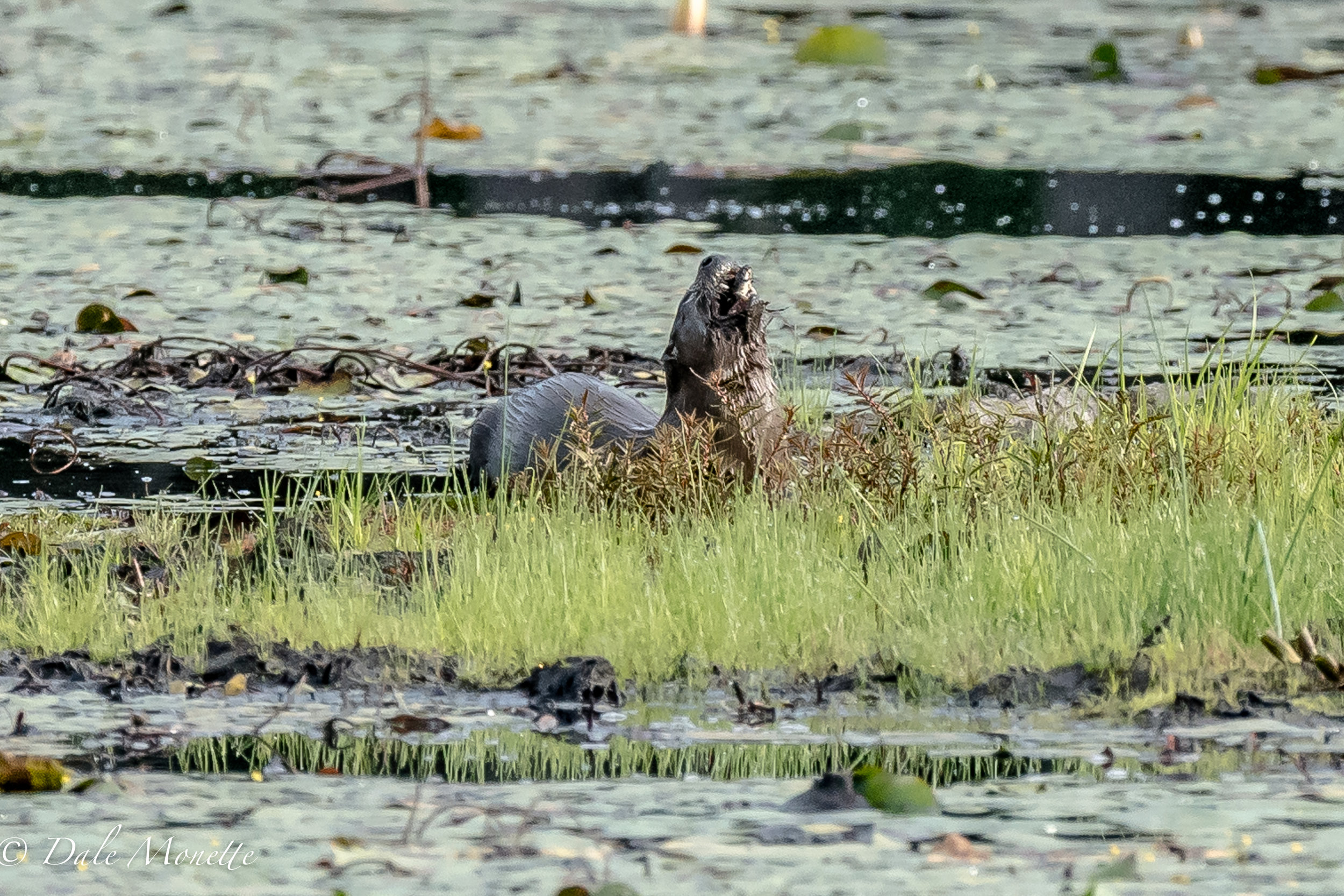 A northern river otter snacks on his mid morning fish.  Looks deee-lish huh ?  :)  8/3/16
