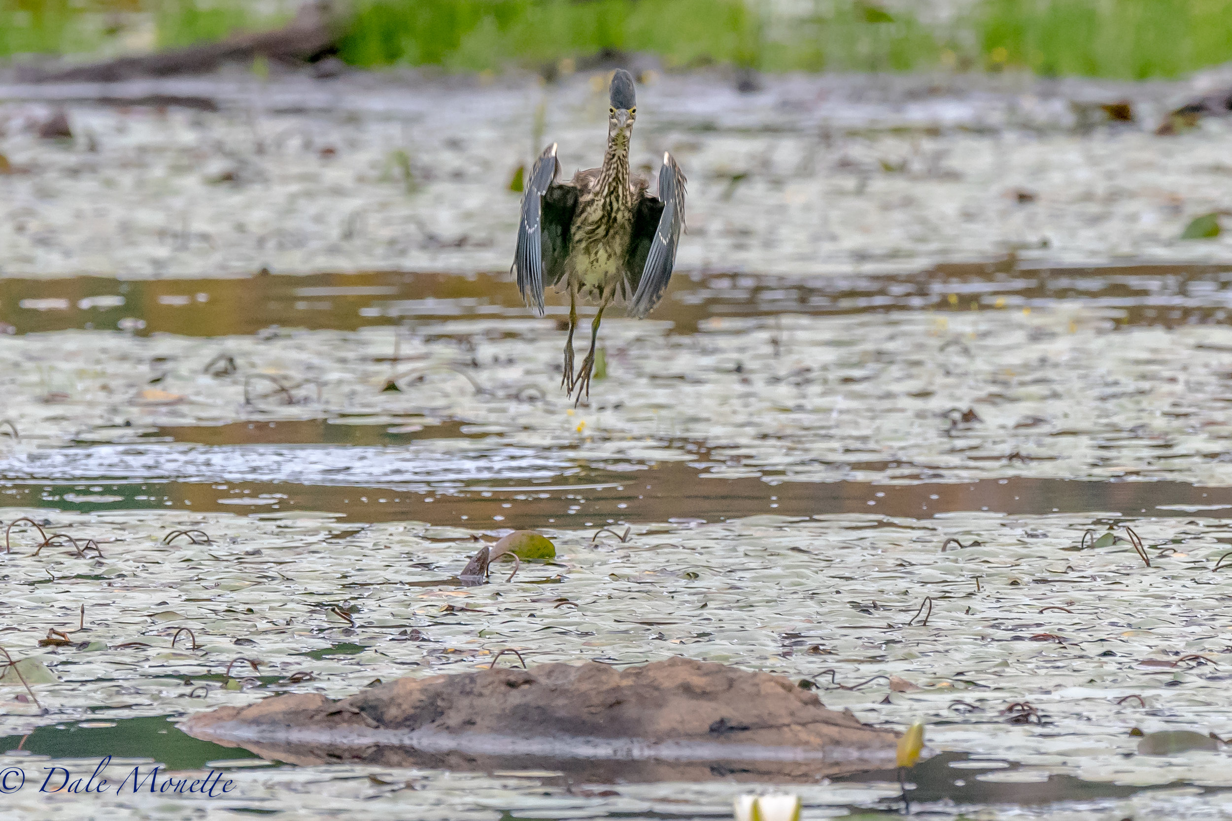 I looked up just in time to catch this green heron coming in for a landing on this rock in front of me just in time to swivel the camera around on my tripod and catch him about to open his wings.. these guys crack me up ! 9/10/16