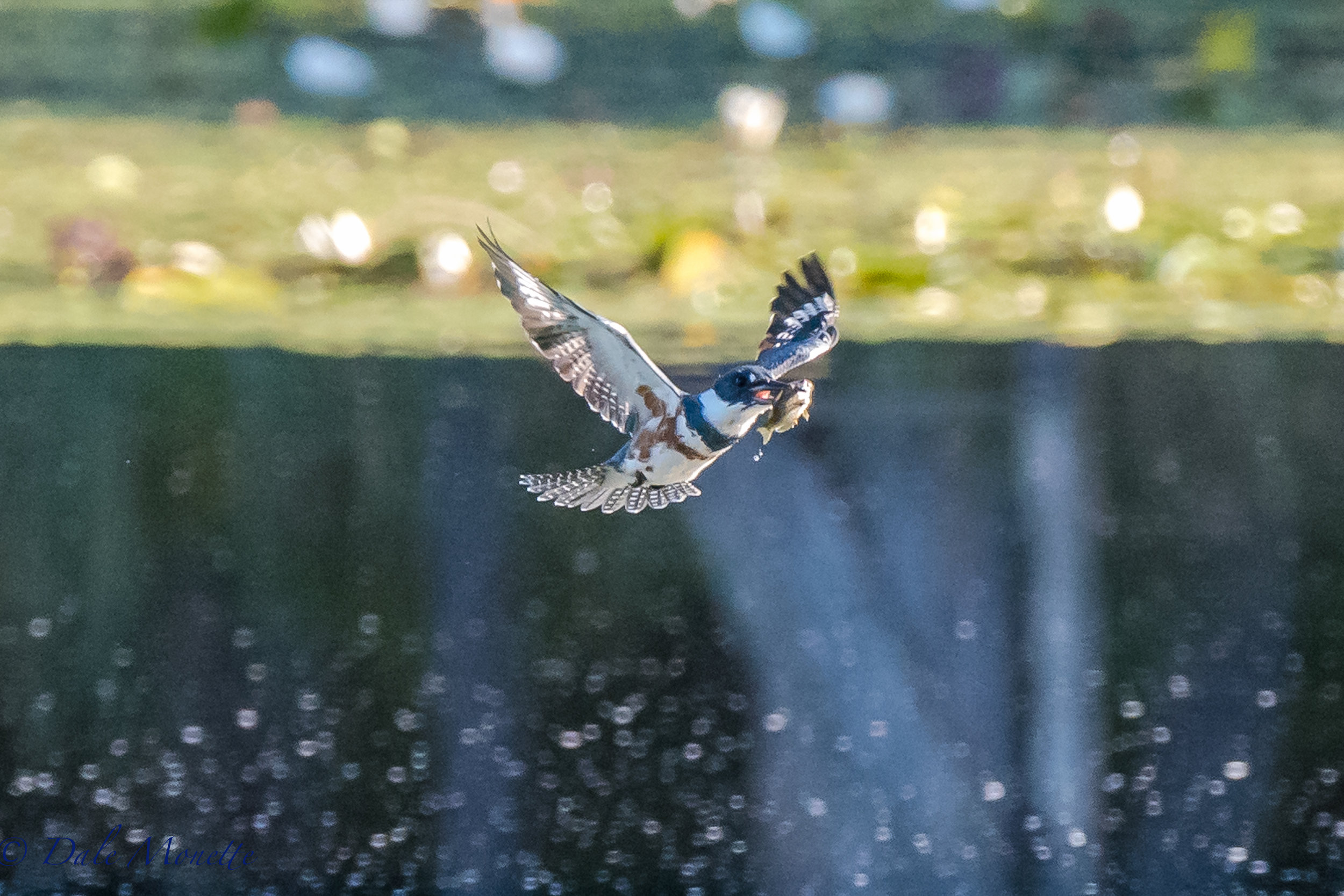 A female belted kingfisher flies away from diving head first into the pond with her breakfast.   9/12/16