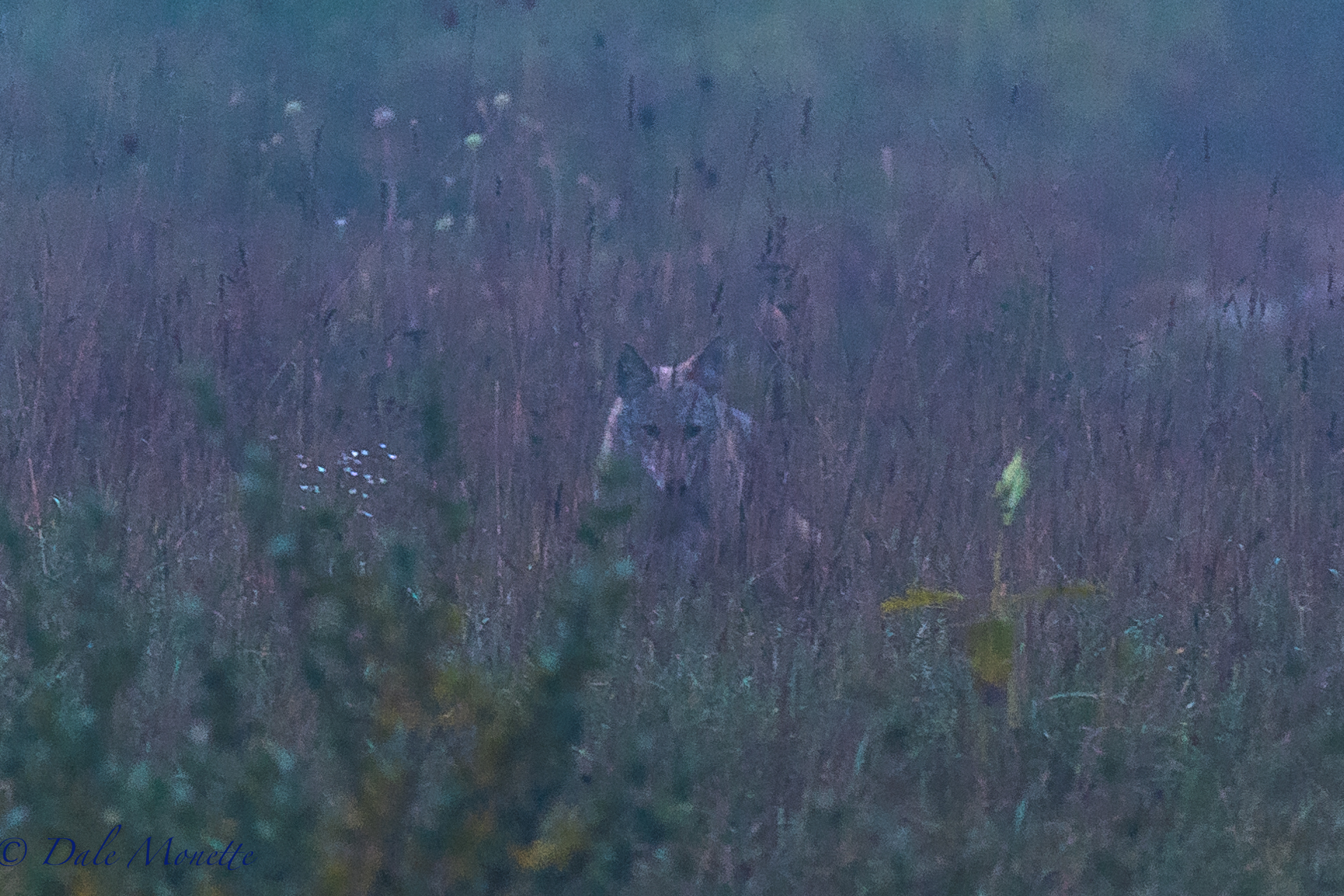 A Quabbin ghost !   A pair of coyotes came in to me out of the fog this morning as I was set up on the edge of a large field and started catching mice.  It was barely light with lots of fog and they just appeared out of the fog !  10/3/16