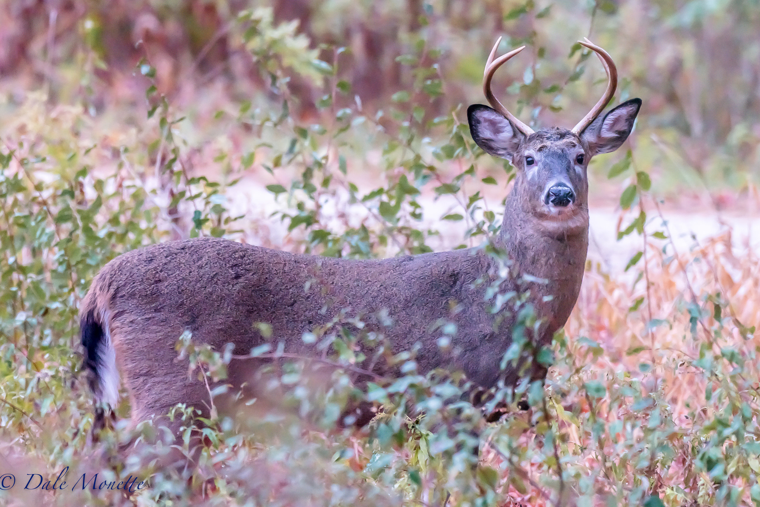 I saw this white tailed deer this morning as I snuck up in darkness to the edge of a large field I have seen moose in. As morning light got brighter this guy seemed to come closer and closer to me. I took about 35 photos before he wandered off into the woods. 10/29/16