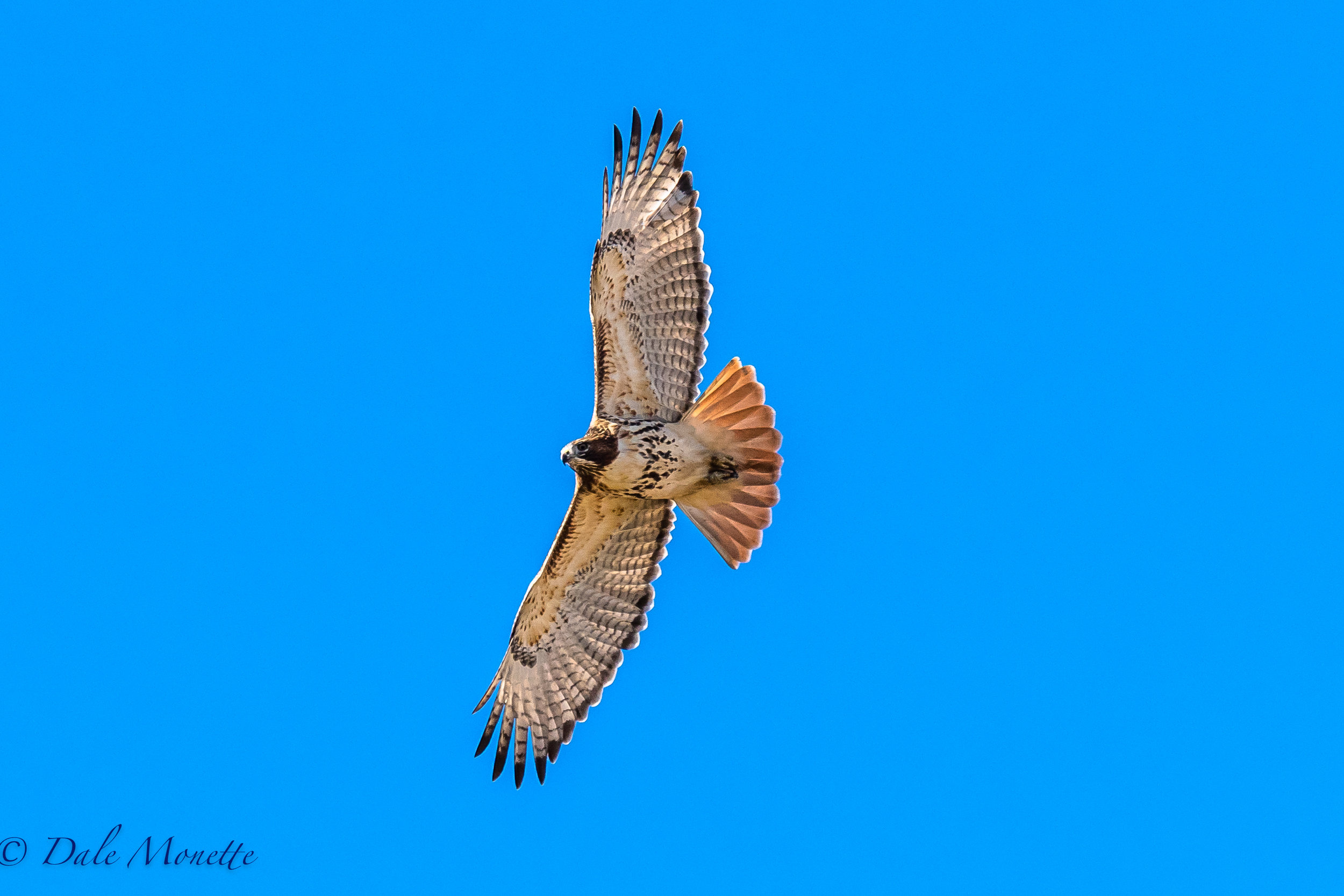 The red tailed hawk soaring over Arcadia Sanctuary meadows this morning in a stiff wind blowing right along the Connecticut River in Easthampton, MA.  11/11/16